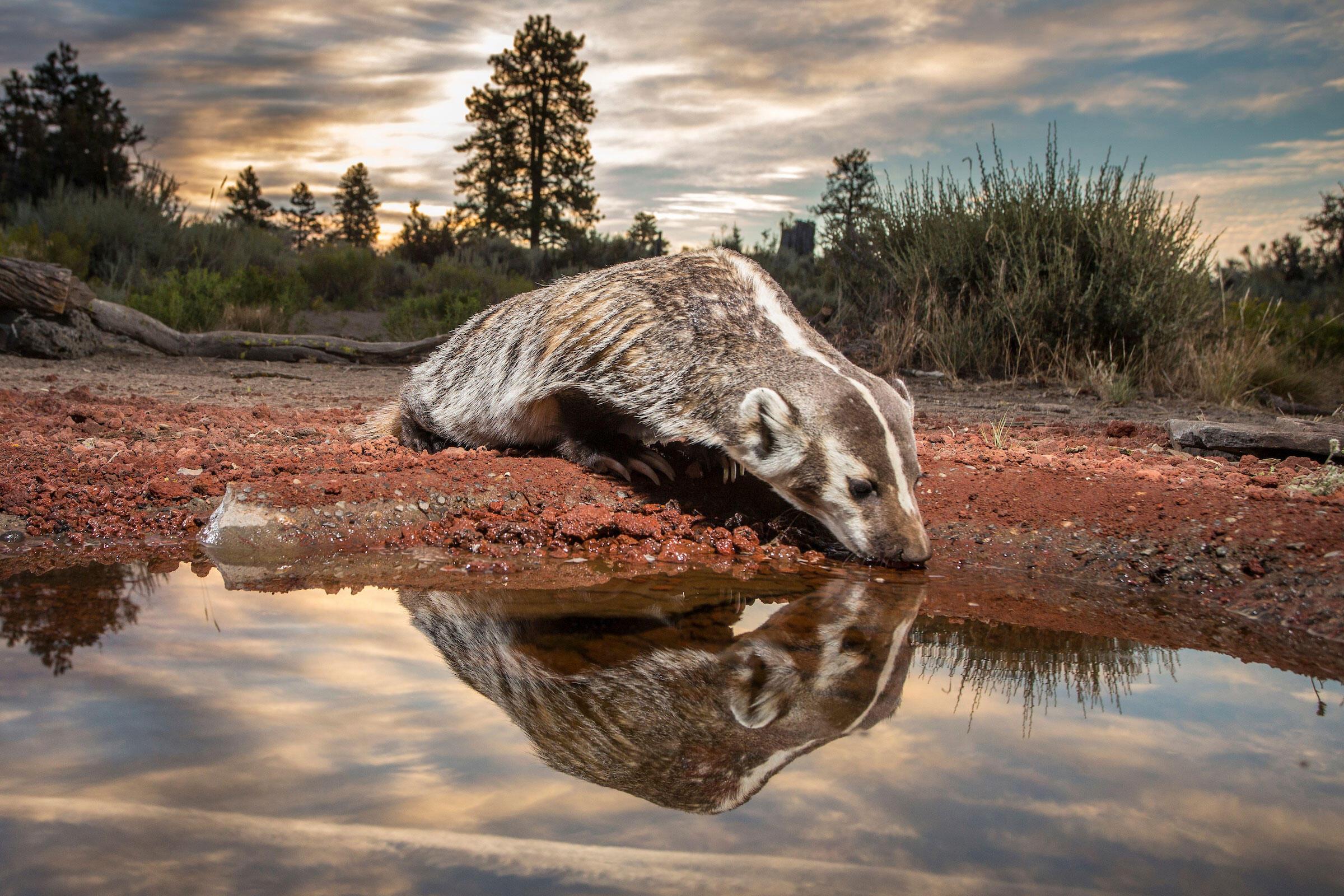 "An American badger takes a drink after sunrise. <a href=""http://www.durmphoto.com/index"">Michael Durham</a>"