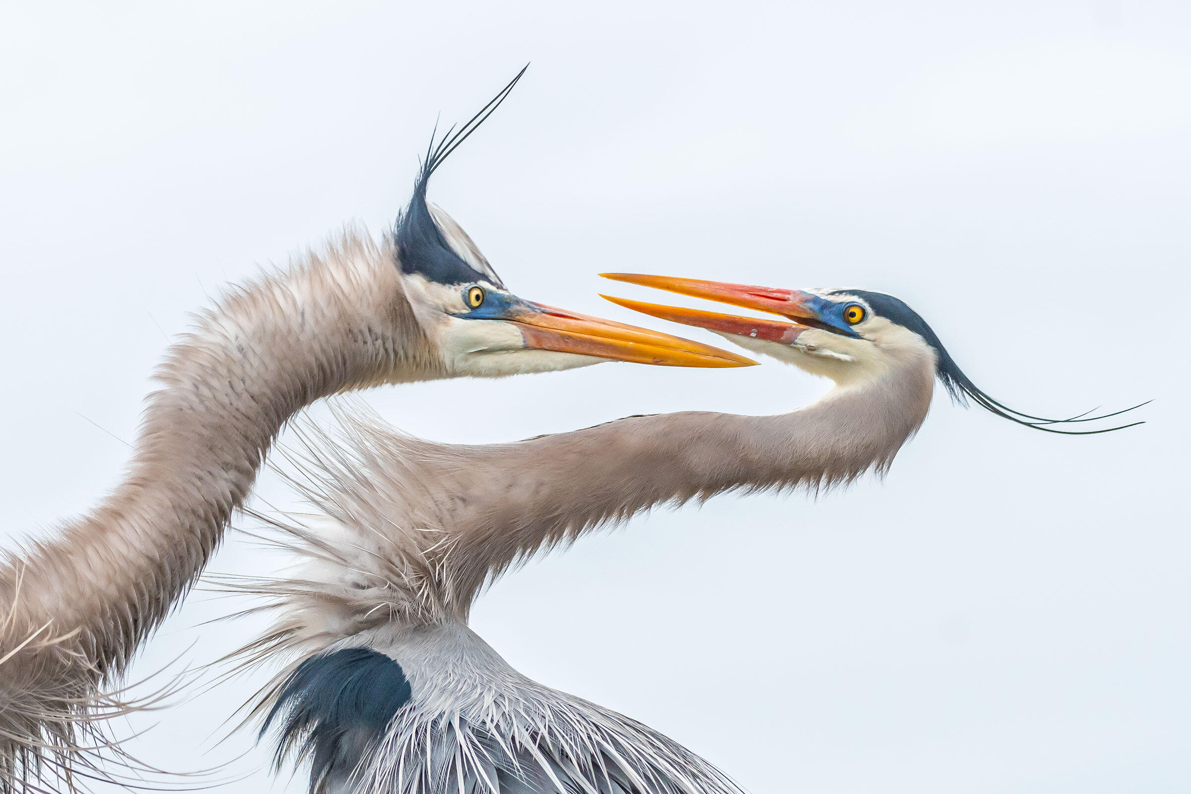 Great Blue Herons. Photo: Melissa Rowell/Audubon Photography Awards