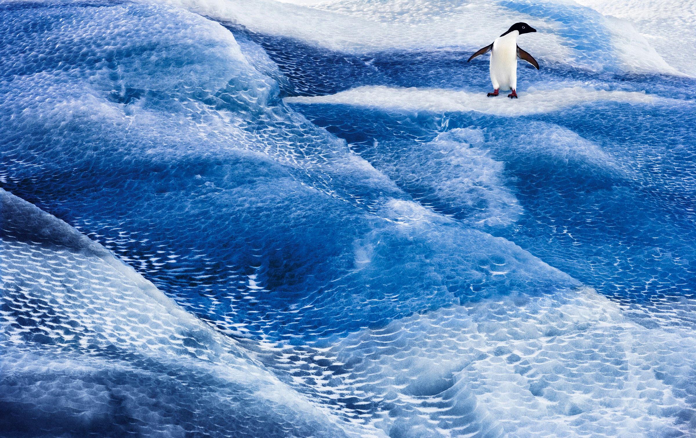 Adelie Penguin on blue iceberg. Ross Sea, Antarctica. John Weller