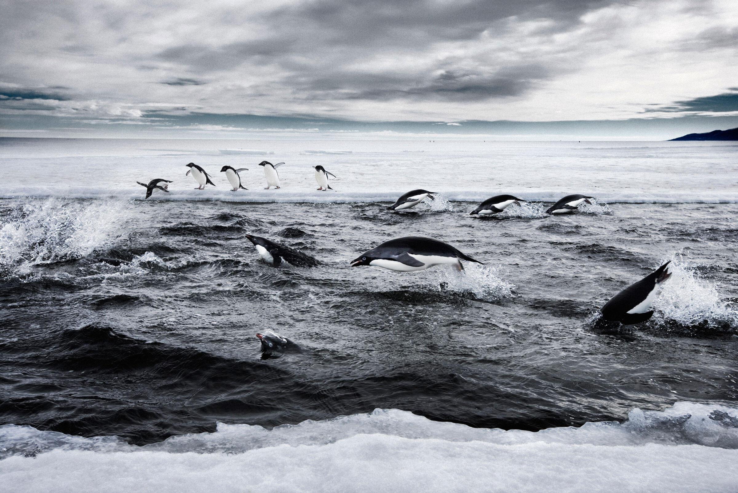 Adelie Penguins hunting in a sea ice crack. Ross Sea, Antarctica. John Weller