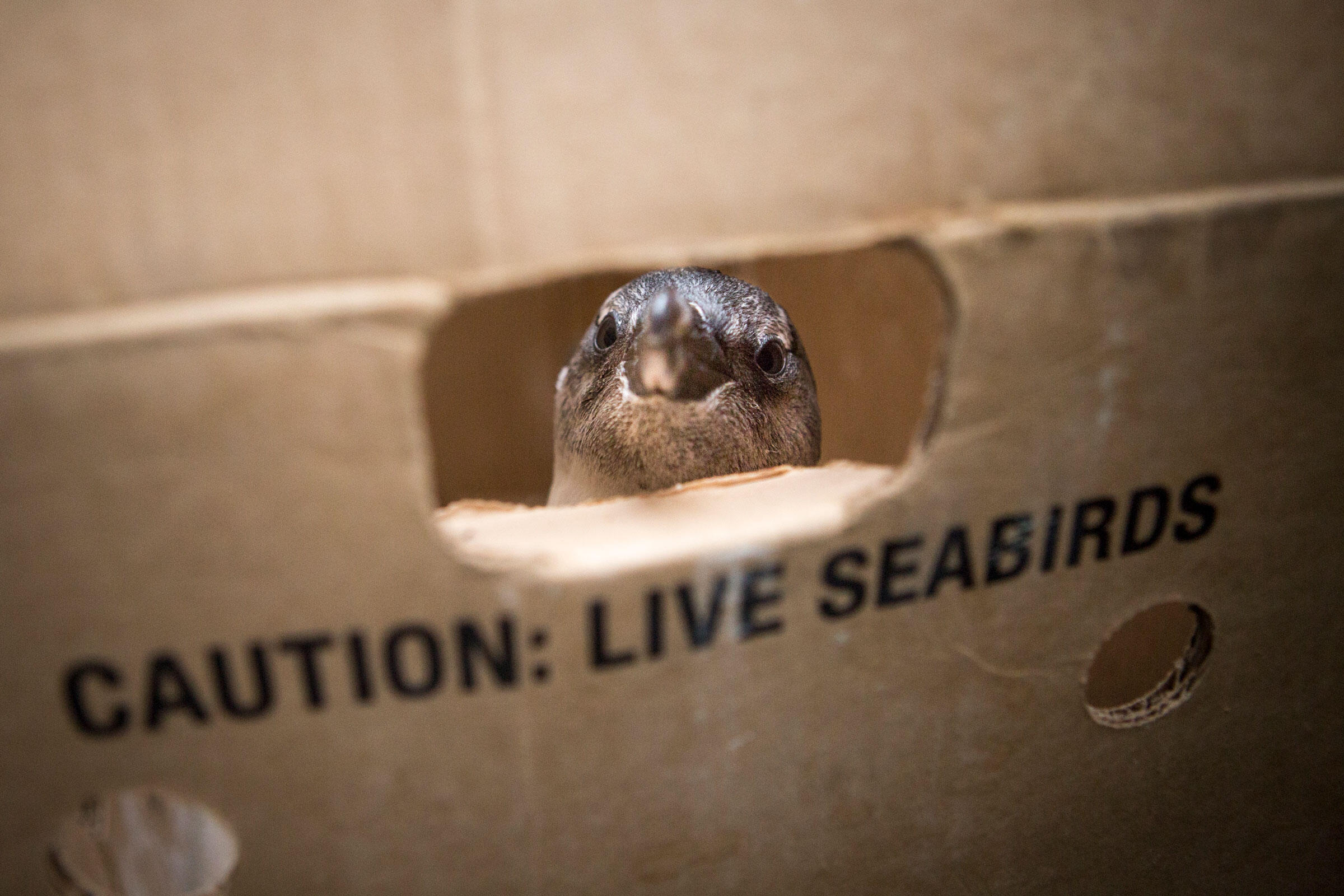 An African Penguin that has been successfully treated for its injuries at SANCCOB waits in a box to be driven to and released at the Stony Point Penguin colony. Alexia Webster