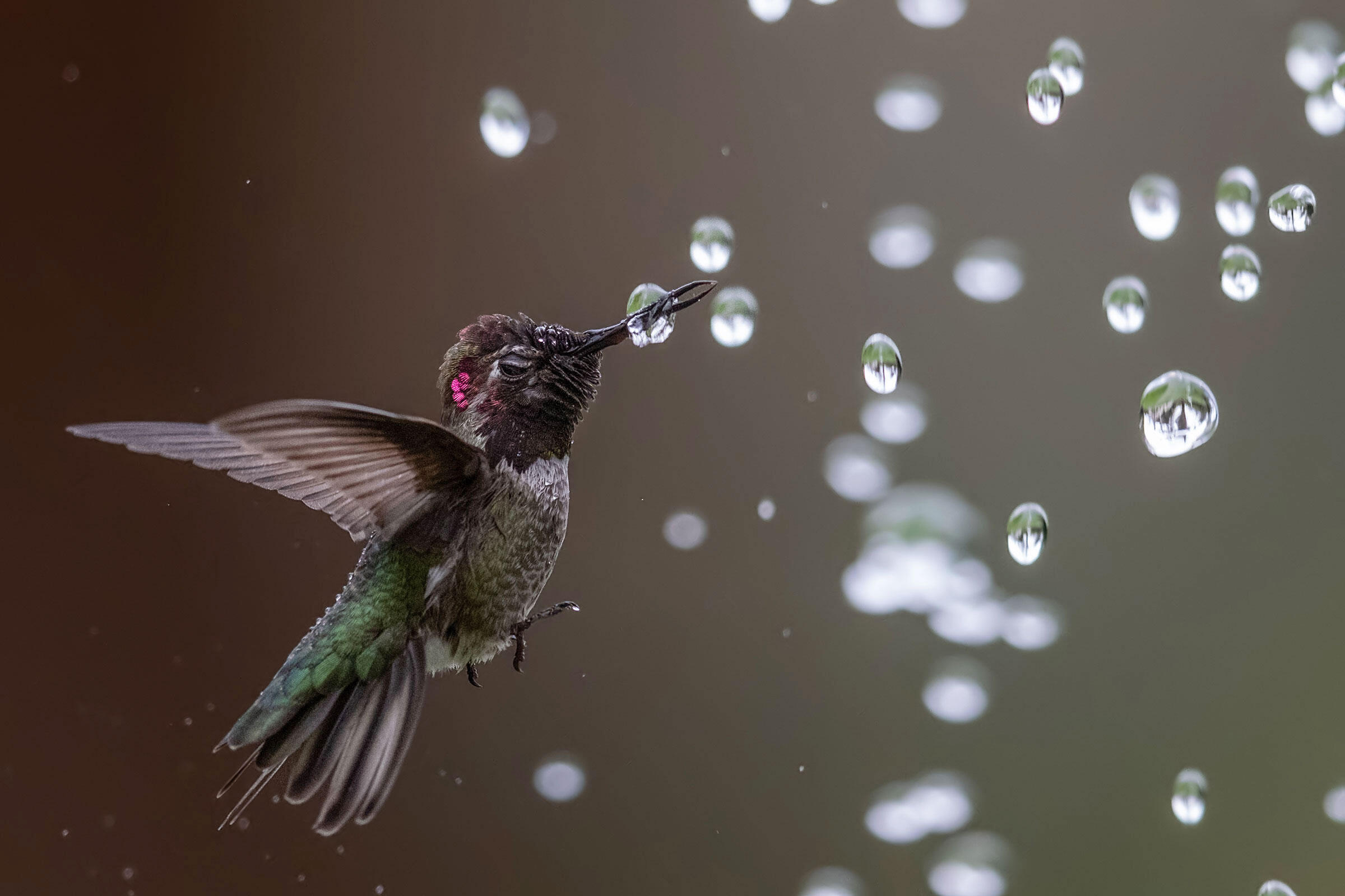 Anna's Hummingbird. Photo: Bibek Ghosh/Audubon Photography Awards