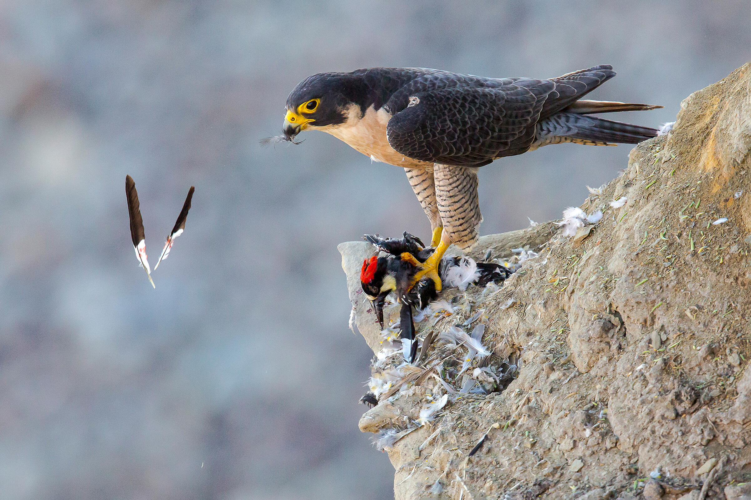 Atop a rocky cliff littered with feathers, a Peregrine Falcon stands with a red-crested Acorn Woodpecker in its bloodied talons. The tan and dark gray Falcon holds a feather in its beak as two other feathers, black at the top and white with blood stains at the bottom, float, crossing in midair.