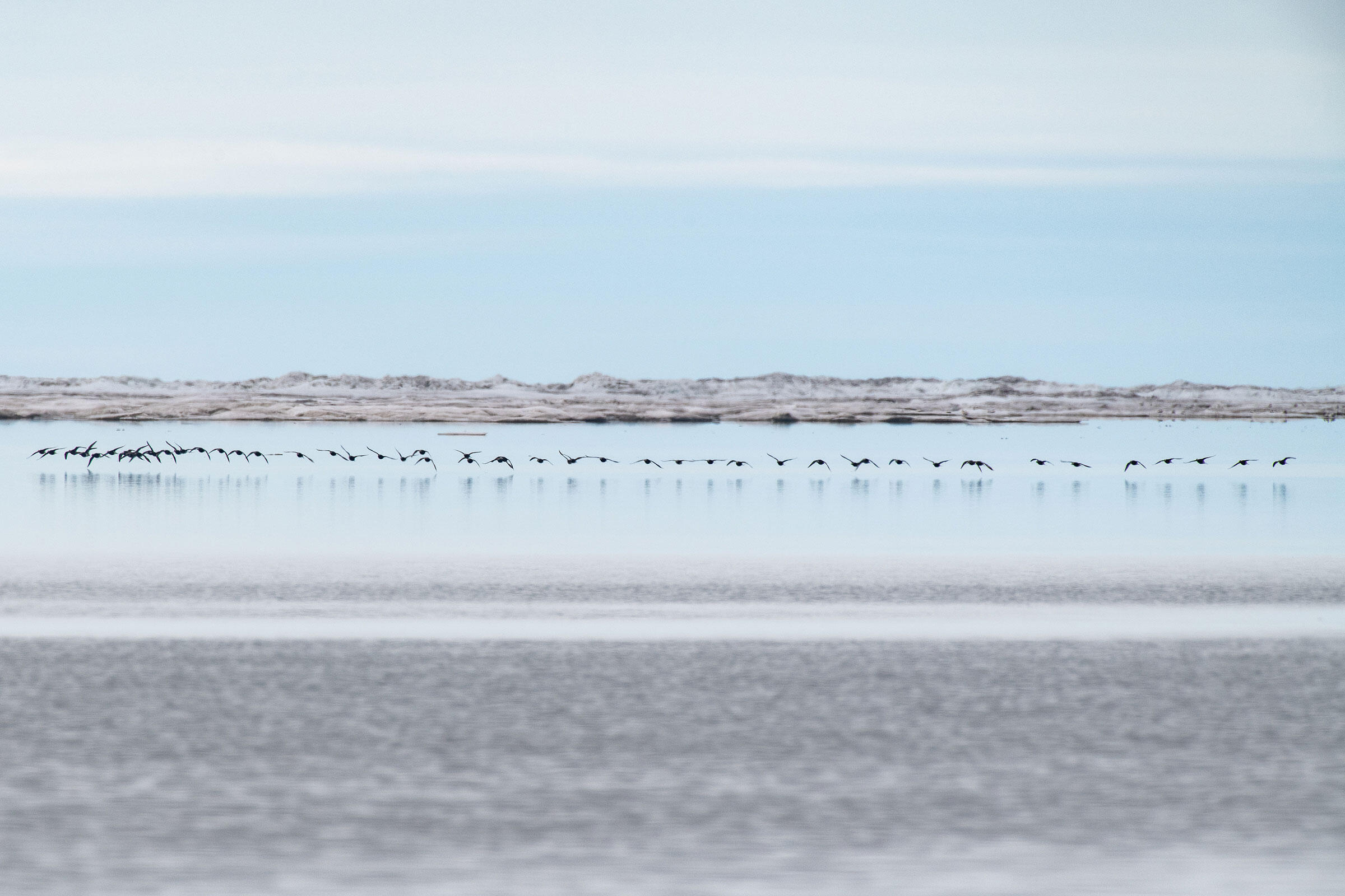 A flock of Long-tailed Ducks skim along the ocean's edge. Peter Mather
