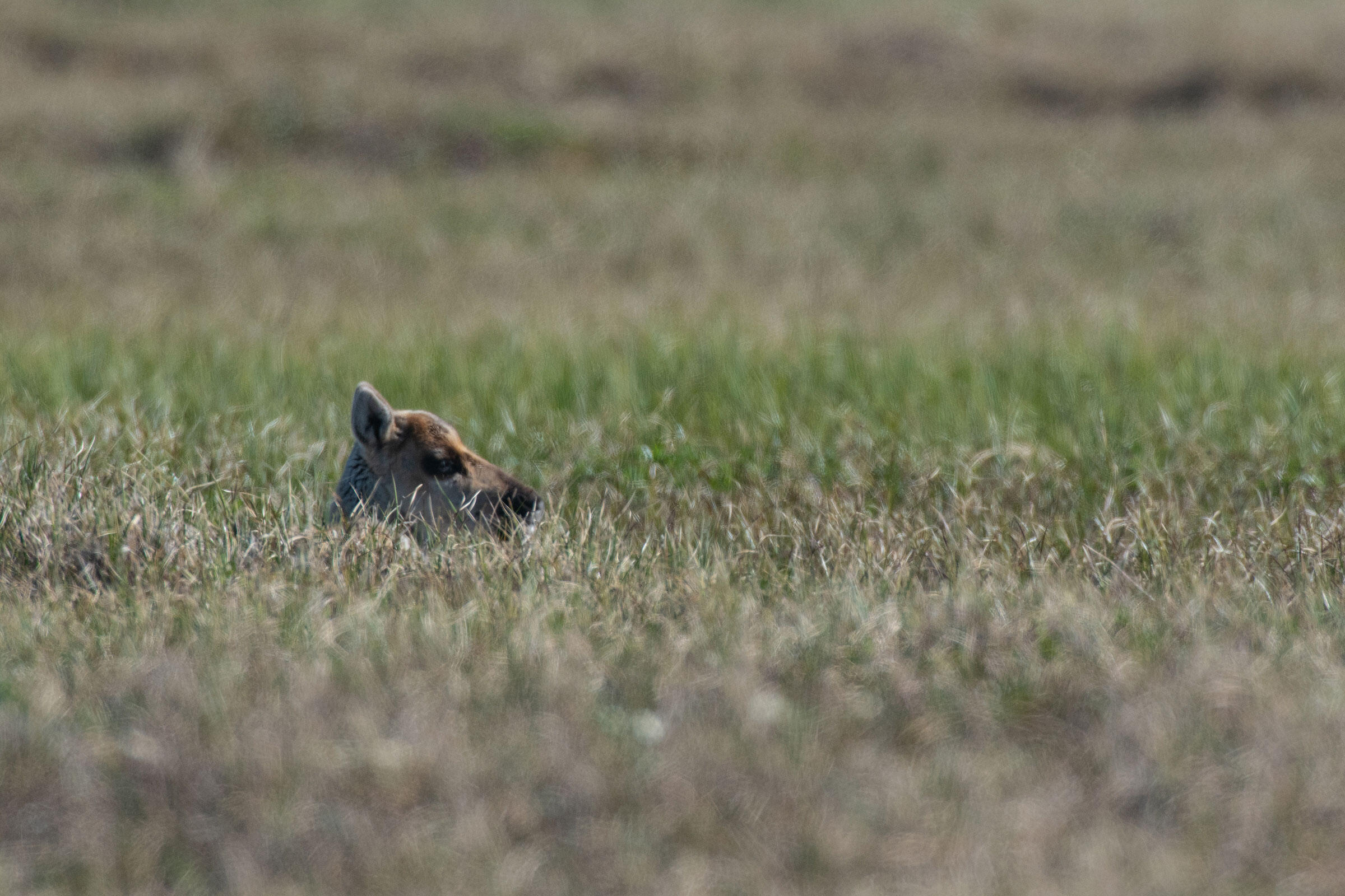 The head of a month-old porcupine caribou calf pops above the refuge grasses. Its mom is close by, feeding on the nutritious roots, grasses, and flowers provided by the coastal plain. Peter Mather