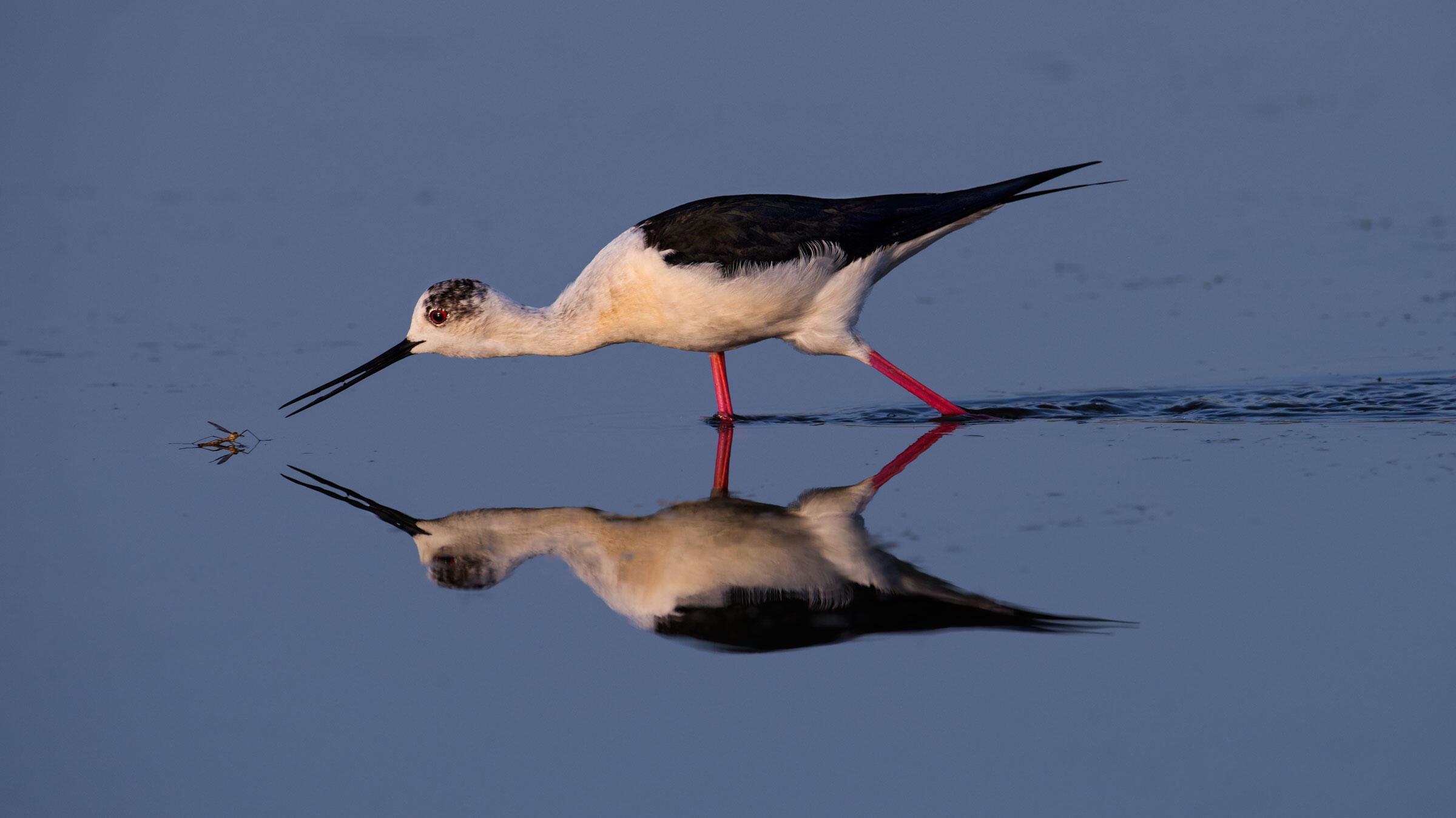 Black-winged Stilt. Artur Stankiewicz/Audubon Photography Awards