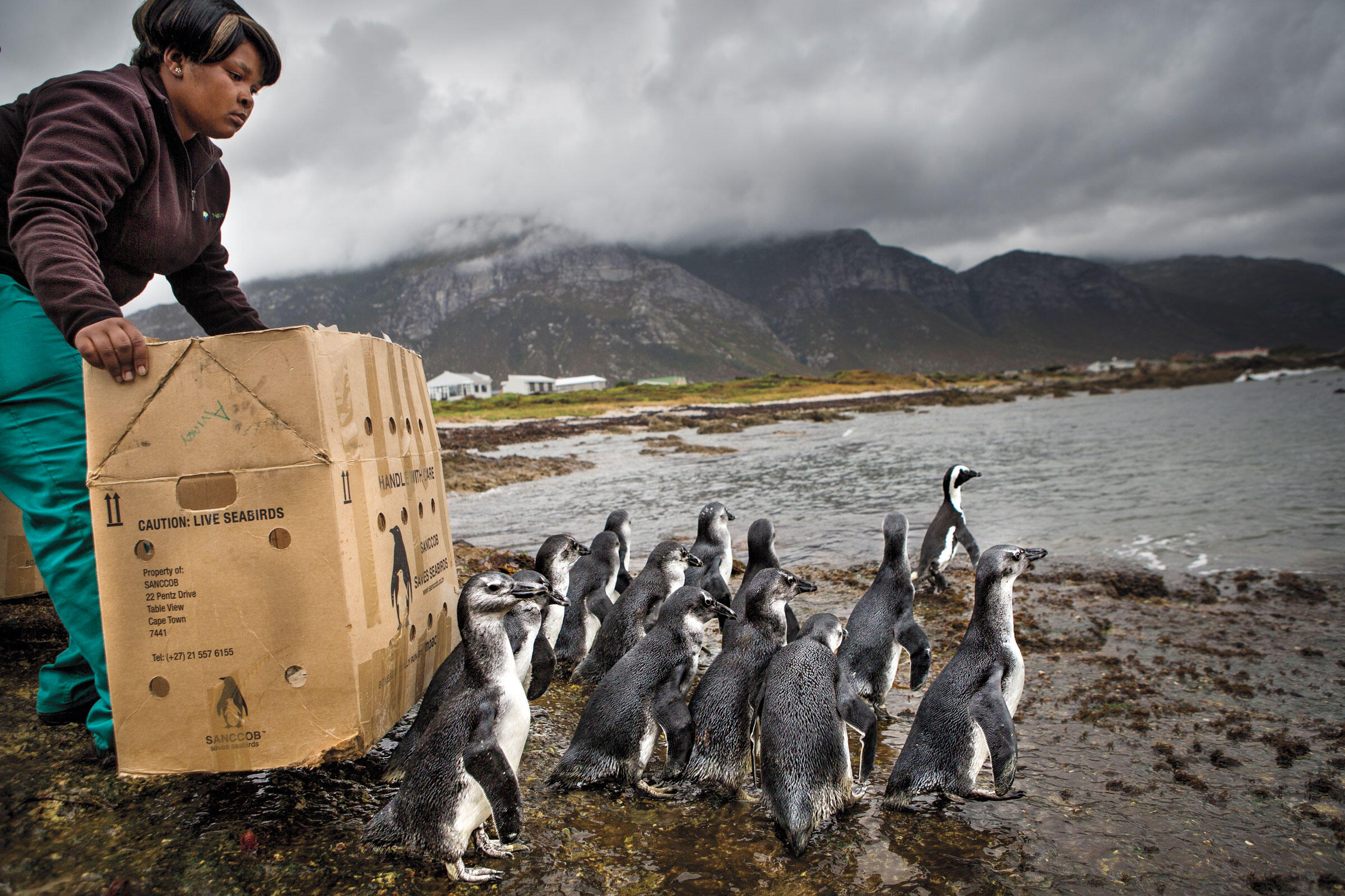 Stony Point field ranger Nomveleli Nkantini encourages penguins to venture into the water. Alexia Webster