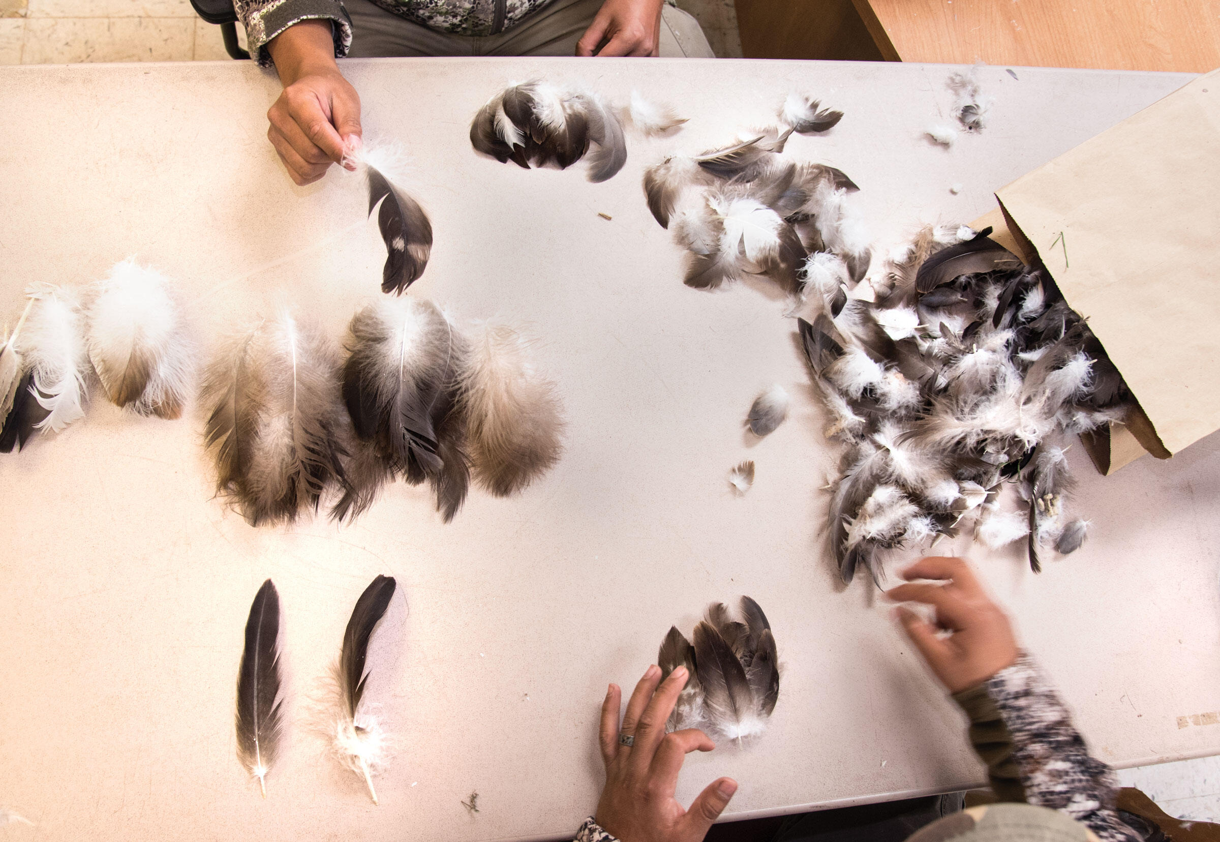 Assistants at the Zuni Pueblo aviary sort eagle feathers by type, which tribe members can request for various religious uses. Dawn Kish