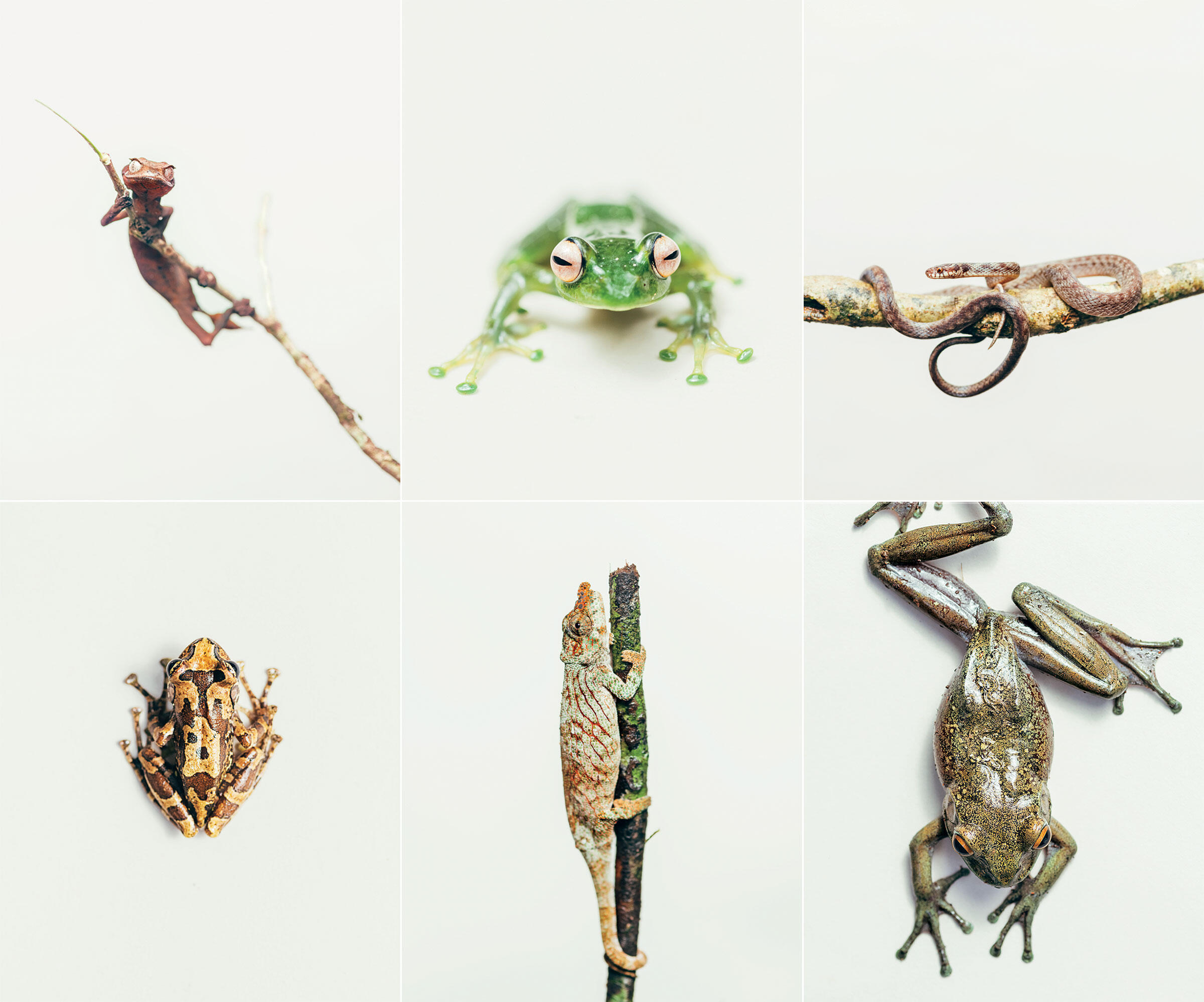 Clockwise from top left: Spearpoint leaf-tail gecko; Andreone's tree frog; Compsophis fatsibe snake; Boophis goudot frog; Calumma nasutum chameleon; Spinomantis nussbaumi frog. Photos: Tristan Spinski