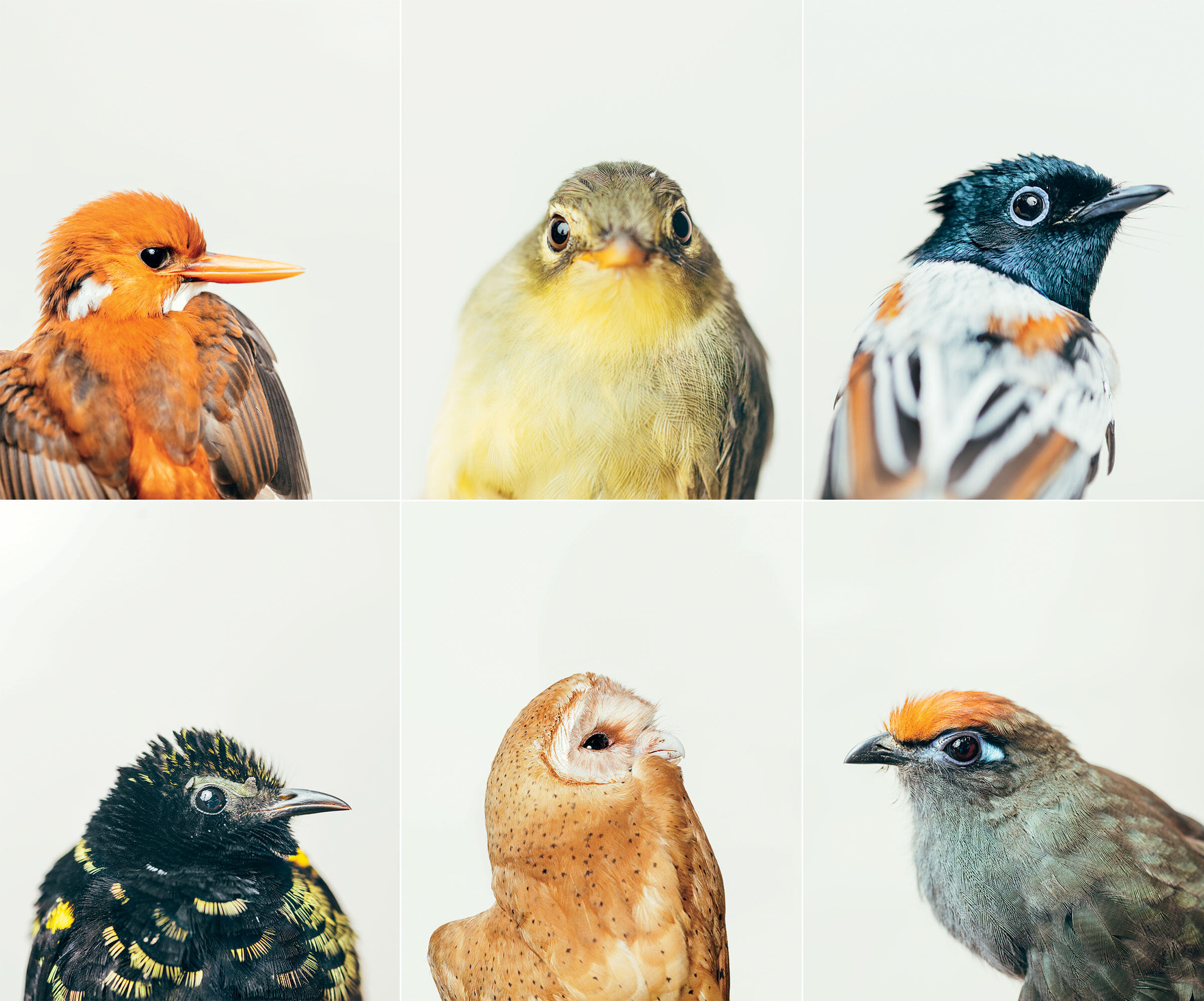 Clockwise form top left: Madagascar Pygmy-Kingfisher; Spectacled Tetraka; Madagascar Pygmy-Kingfisher; Red-fronted Coua; Red Owl; Velvet Asity. Photos: Tristan Spinski