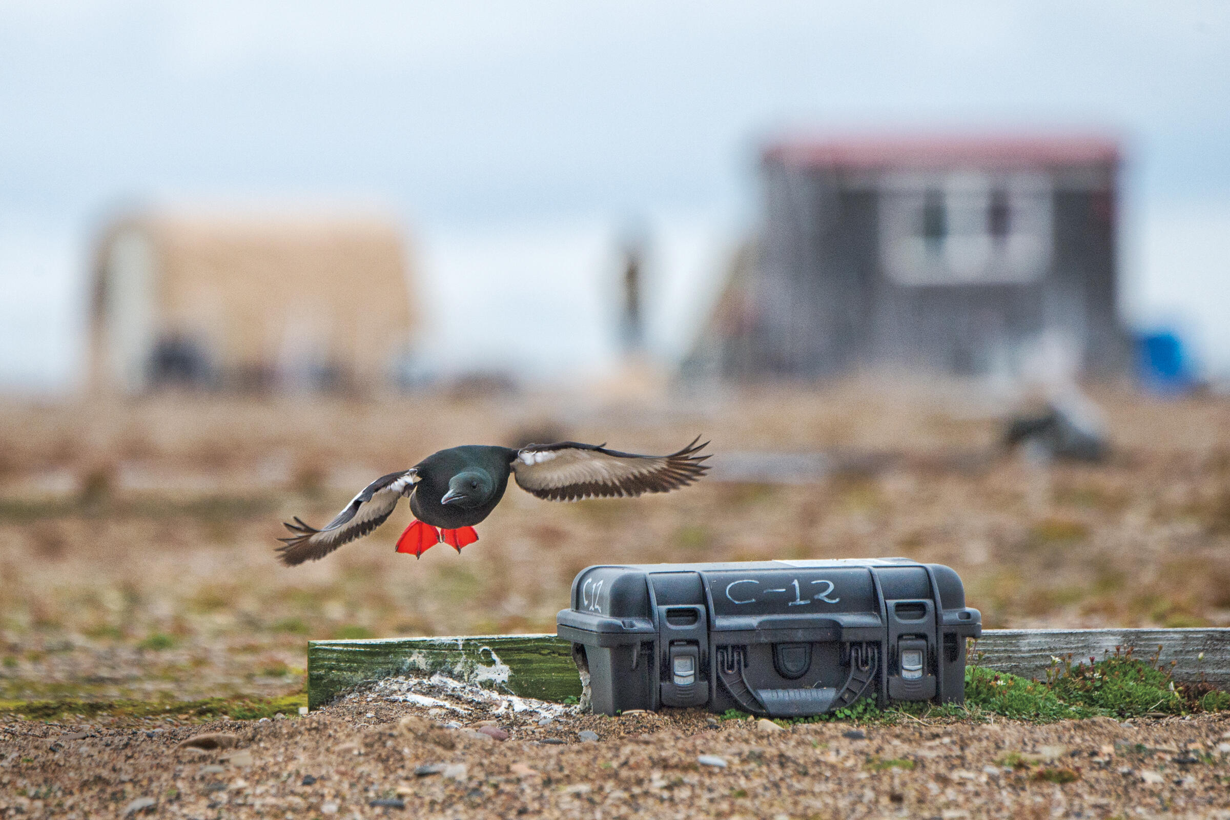 A Mandt's Black Guillemot approaches a nest for landing. In 2011, after predators decimated the colony, birds began nesting in plastic cases. Peter Mather
