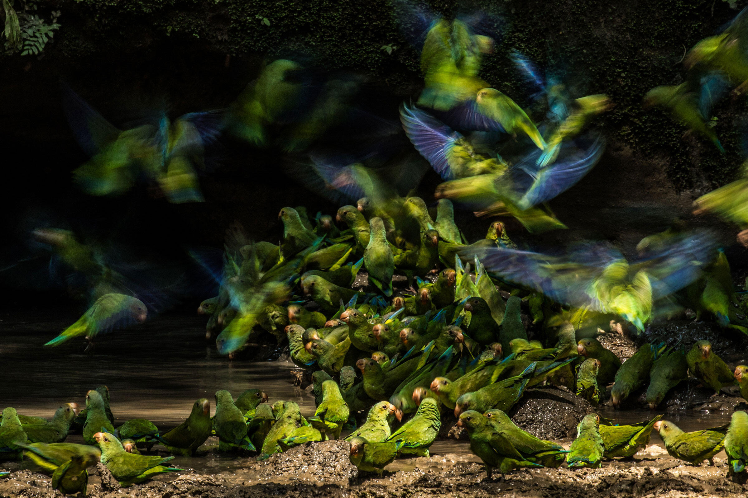 Gertsman's image of Cobalt-winged Parakeets gathering around a clay lick won the Youth category and landed on the cover of Audubon's Summer issue. Liron Gertsman/Audubon Photography Awards