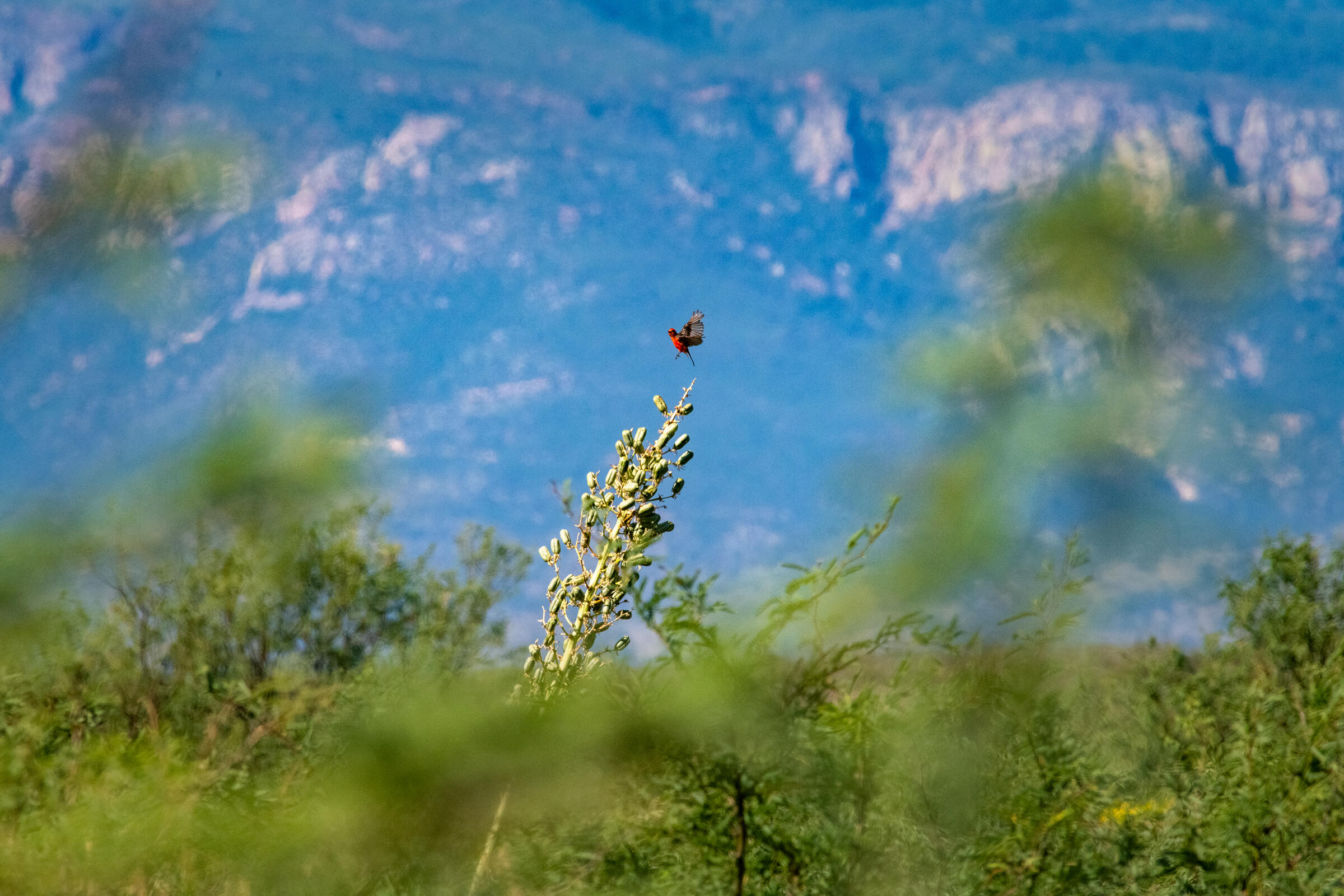 A Vermilion Flycatcher—one of some 350 bird species recorded at the San Pedro Riparian National Conservation Area—lands atop an agave stem. Ash Ponders