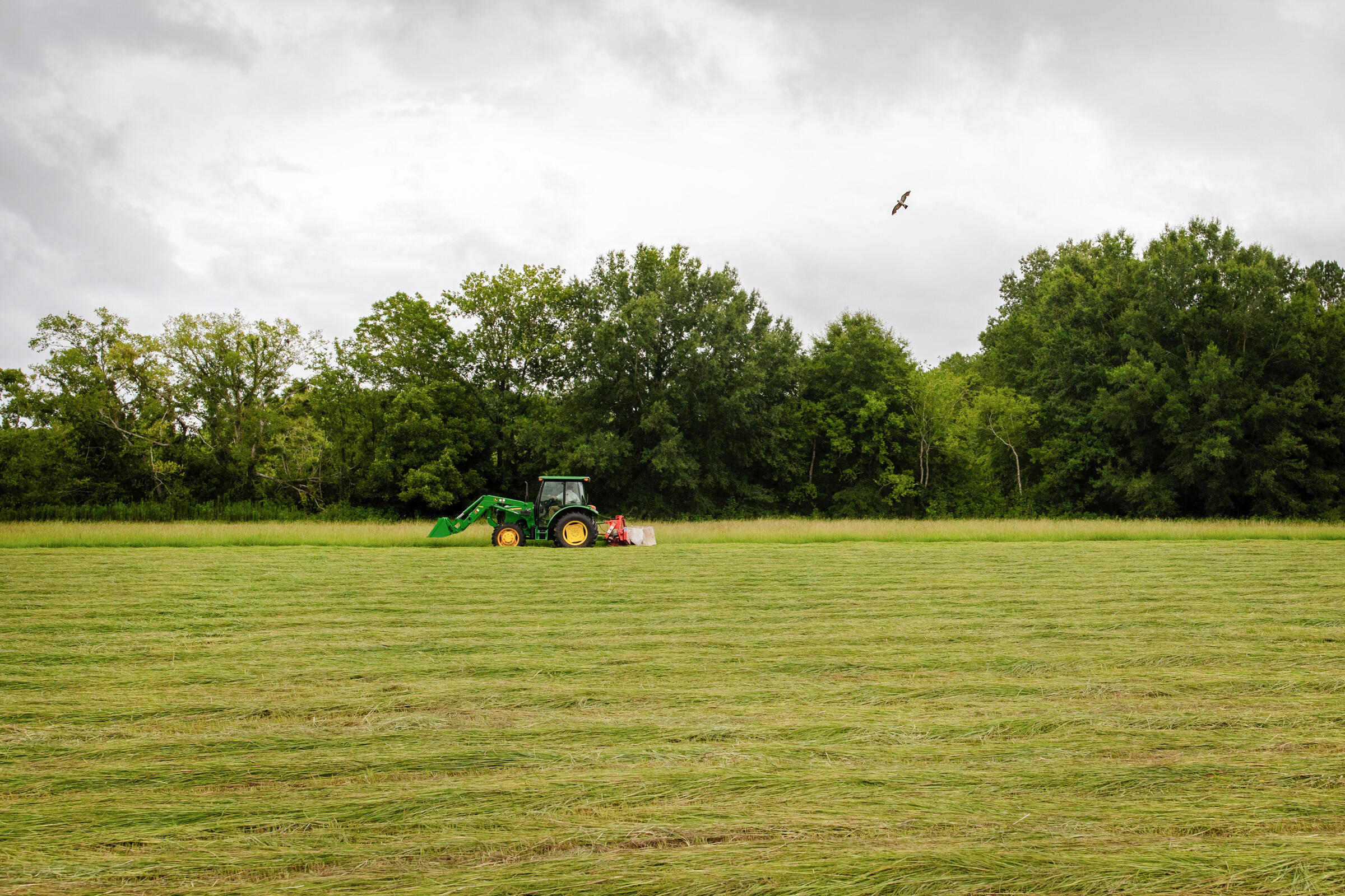 A green tractor pulling a mower cuts hay in a lush, green field. Above the green trees in the background, against a gray sky, a Mississippi Kite hovers over the tractor.