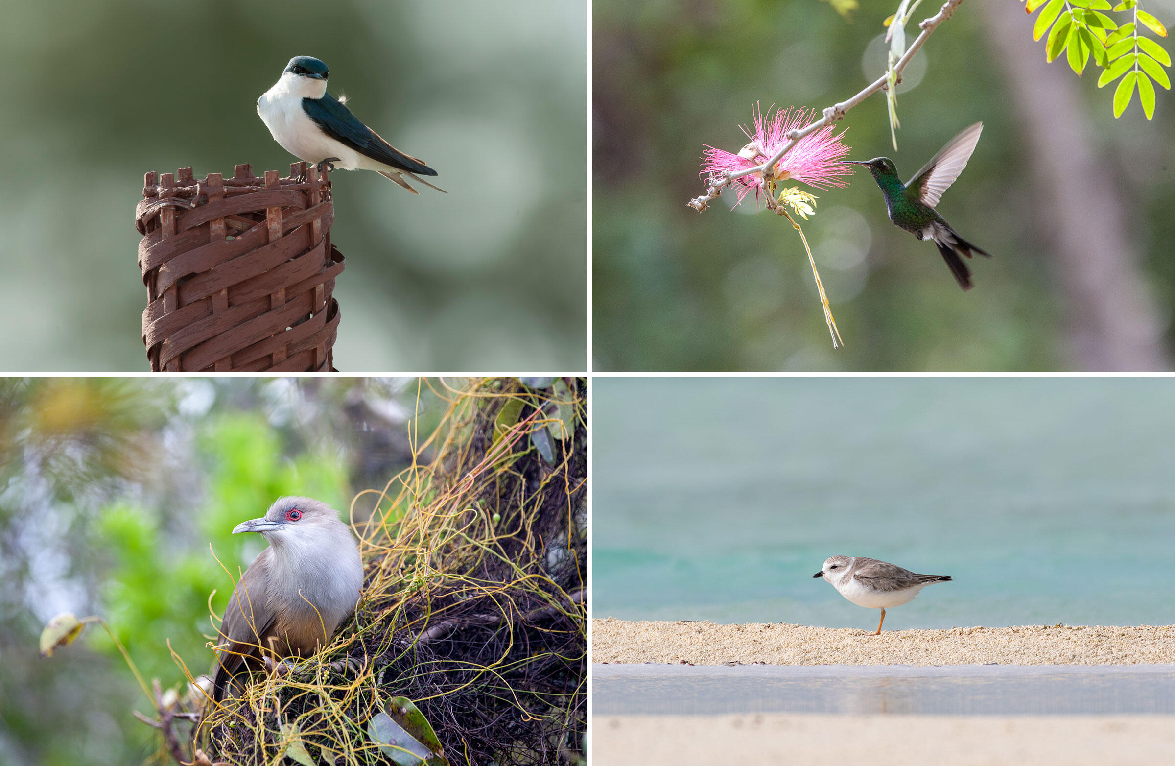 From top left, clockwise: Bahamas Swallow, Cuban Emerald, Piping Plover and Great Lizard-Cuckoo. Photos from top left: Walker Golder, Camilla Cerea/Audubon (3)