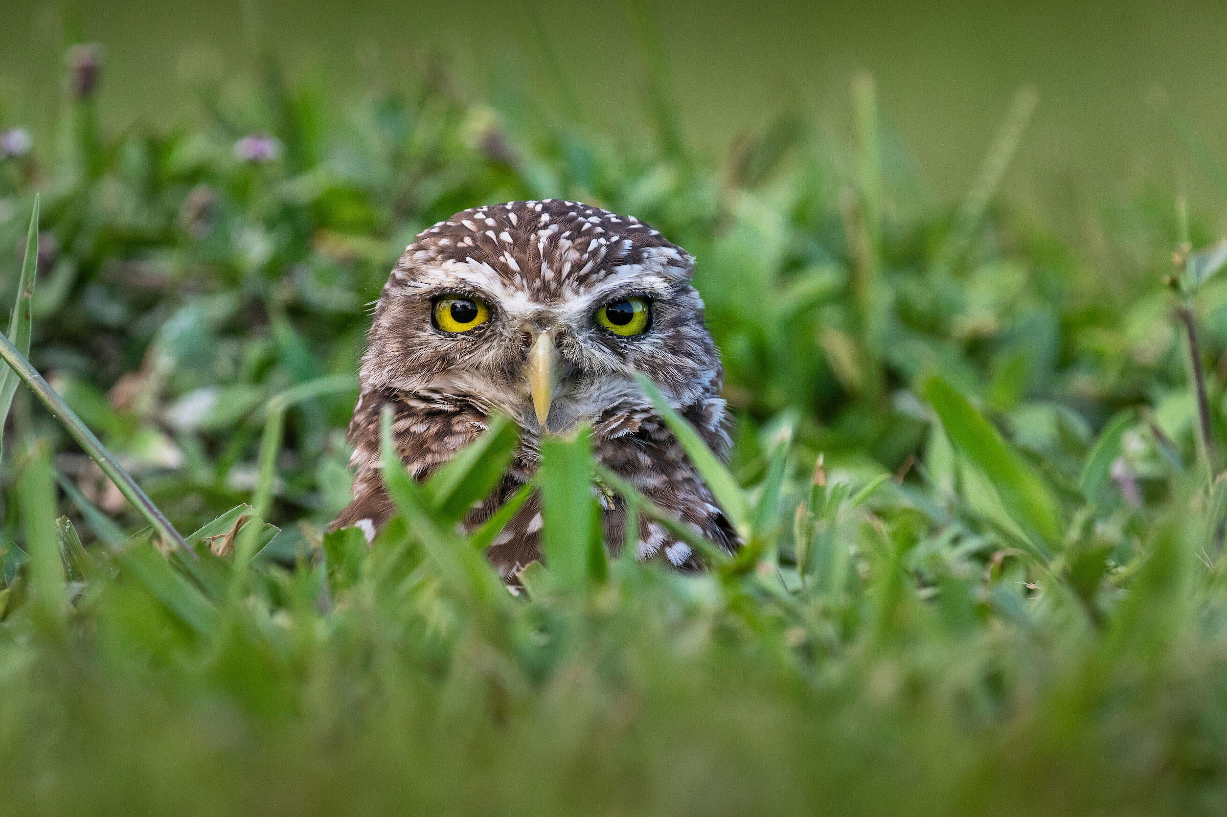 Cape Coral is home to one of the largest populations of Burrowing Owls. Nile monitors, invasive lizards that also abound in the area, are known to eat the birds—but just how often is still a mystery. Karine Aigner