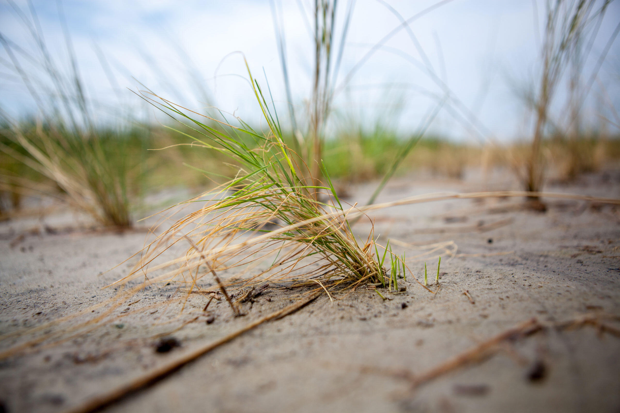 Under the soil, the roots of these brownish grasses are growing strong. Camilla Cerea/Audubon