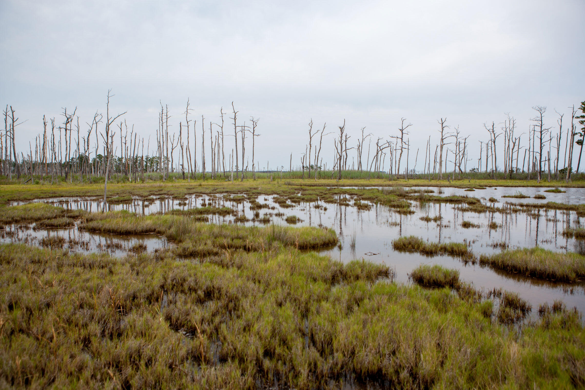 """Rotted marsh at Farm Creek Marsh sits in front of a stand of """"ghost forest,"""" trees killed when saltwater soaks their roots. When the trees fall, they exacerbate marsh loss. Camilla Cerea/Audubon"""