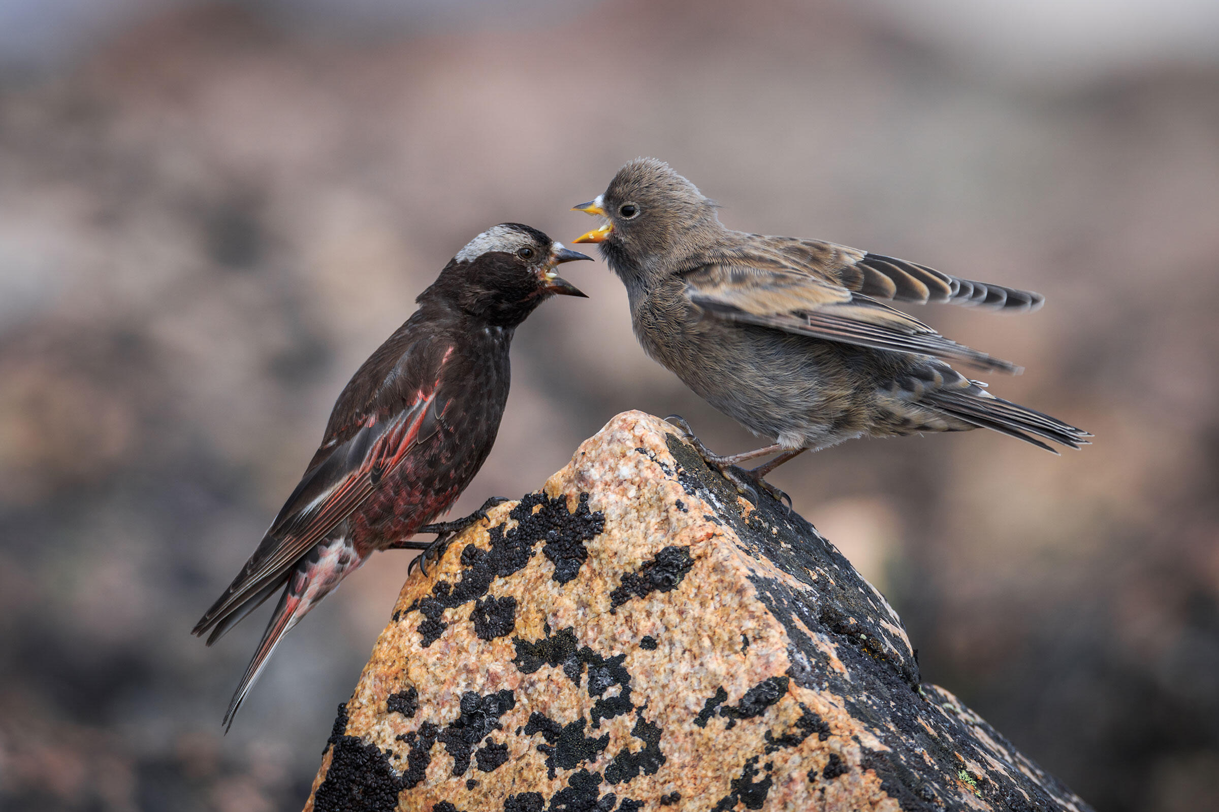 Male Black Rosy-Finch with a fledgling. The species starts nesting as early as April, when the mountain face is still thick with ice and snow. Ronan Donovan