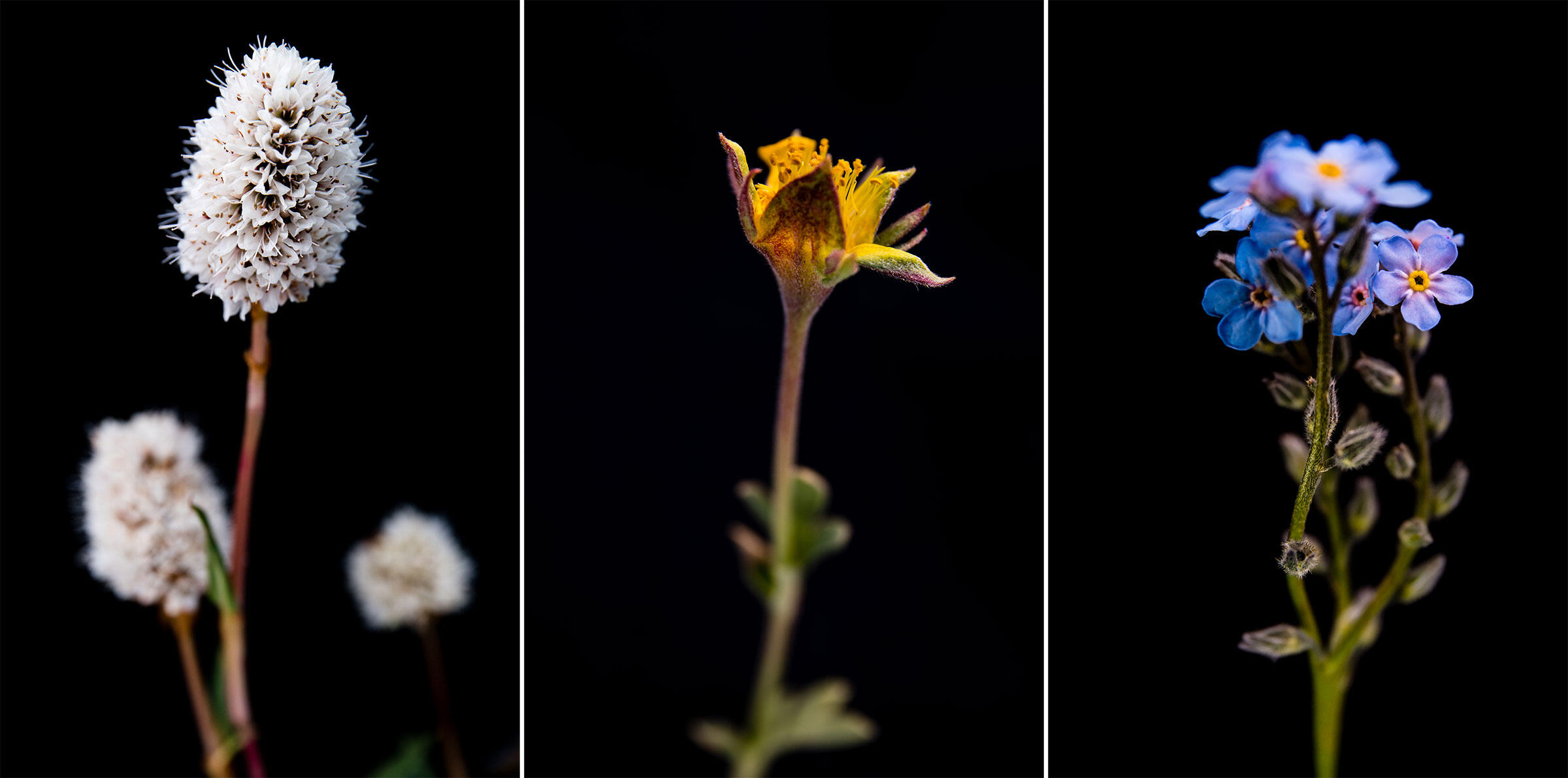 From left: Western bistort, diverse-leaf cinquefoil and alpine forget-me-not, all plants eaten by the Black Rosy-Finch. Photos: Ronan Donovan