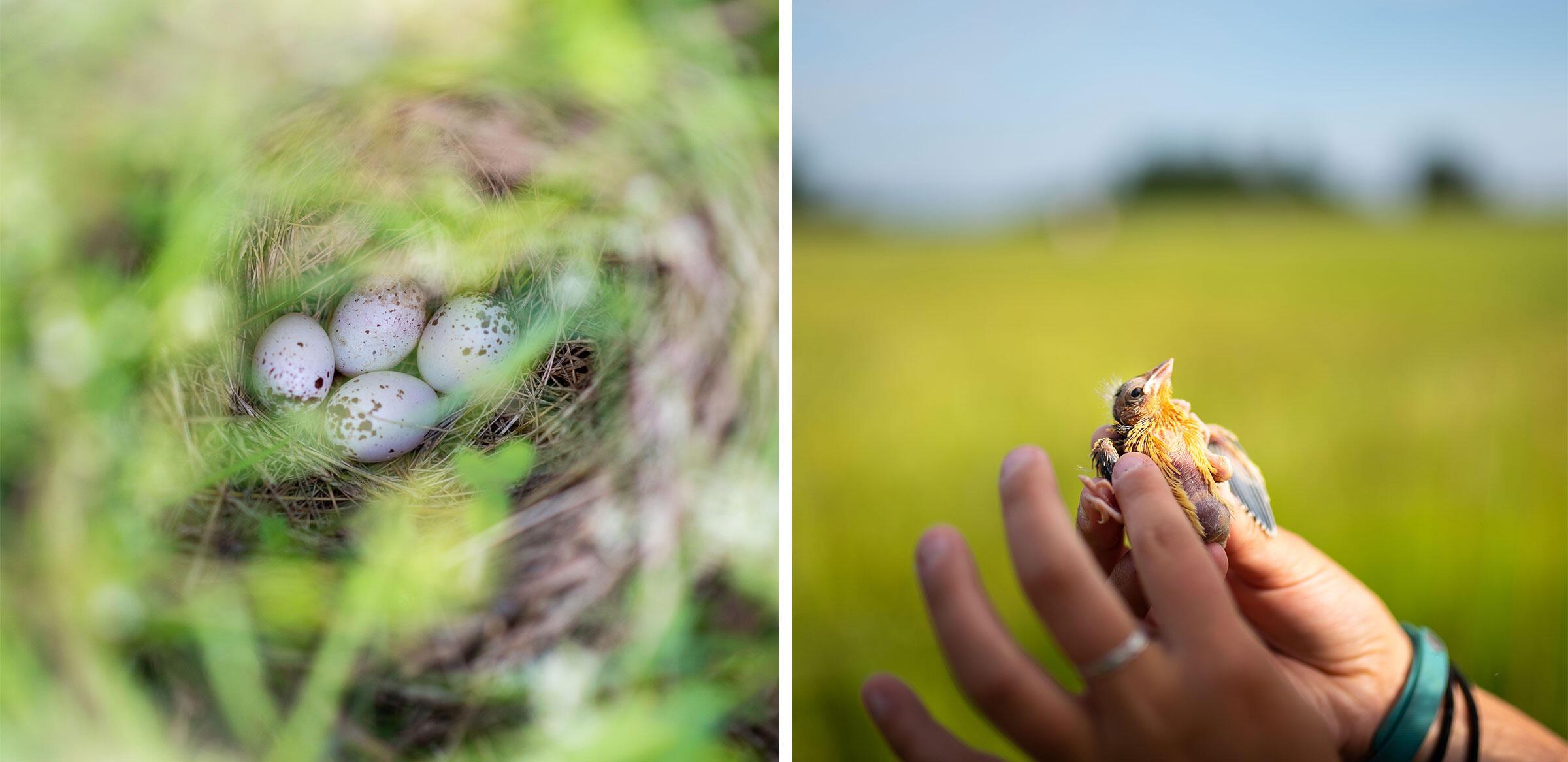 Noah Perlut's student holds up a Bobolink chick hatched on Shelburne Farms.