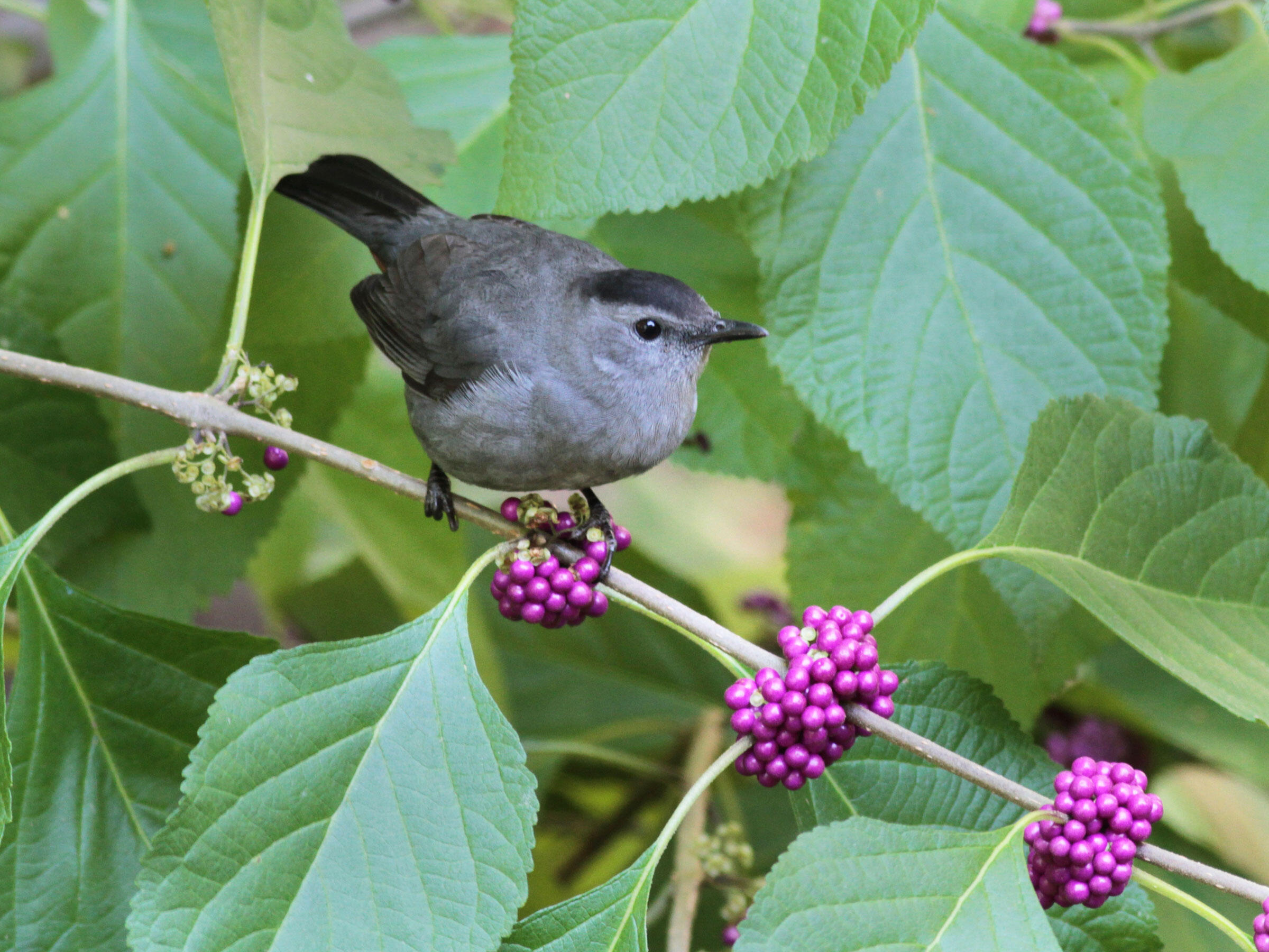 A Gray Catbird perches on a bright sprig of American beautyberry. Will Stuart