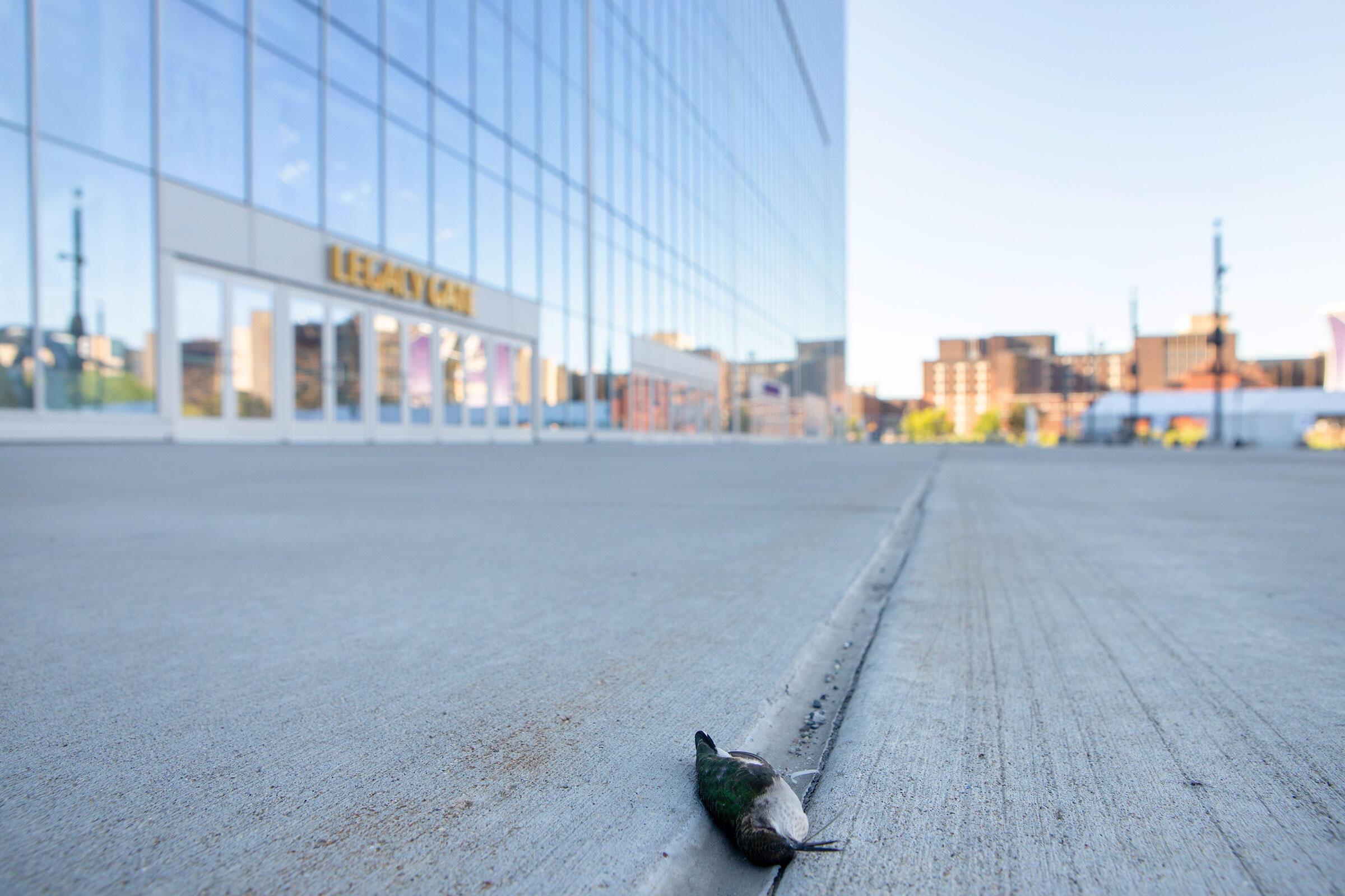 A Ruby-throated Hummingbird outside the main gate of U.S. Bank Stadium. Camilla Cerea/Audubon