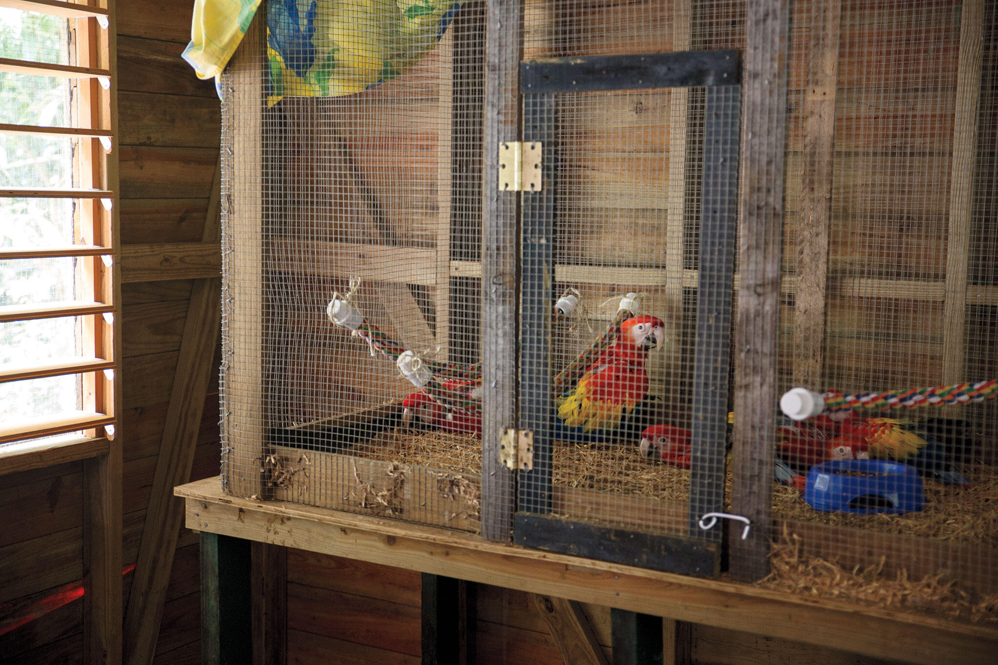 Five rescued Scarlet Macaw chicks sleep off a Tropican Parrot Food lunch in their enclosure. Camilla Cerea/Audubon