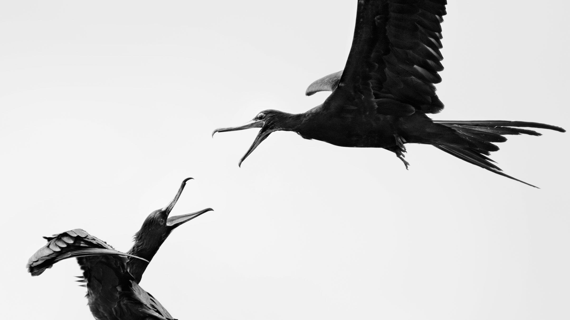Great Frigatebirds. Carolina Anne Fraser/Audubon Photography Awards