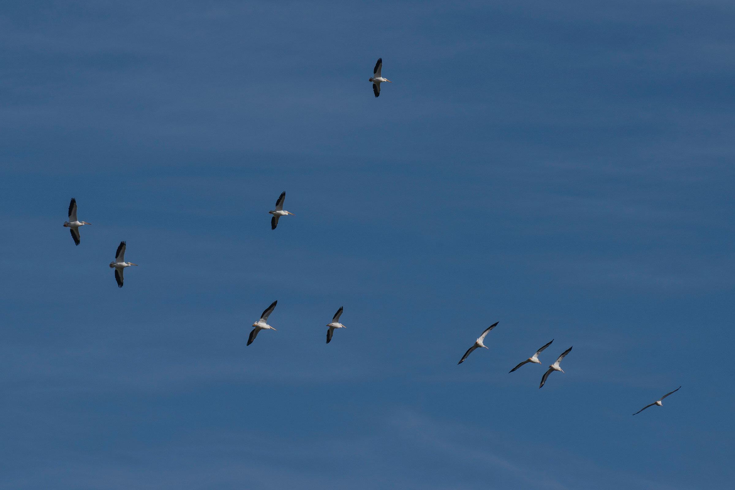American White Pelicans fly overhead during the Christmas Bird Count on January 4, 2019. The birds congregate and fish in resecas, pond-like watering holes found in former bends of the Rio Grande River. Verónica G. Cárdenas