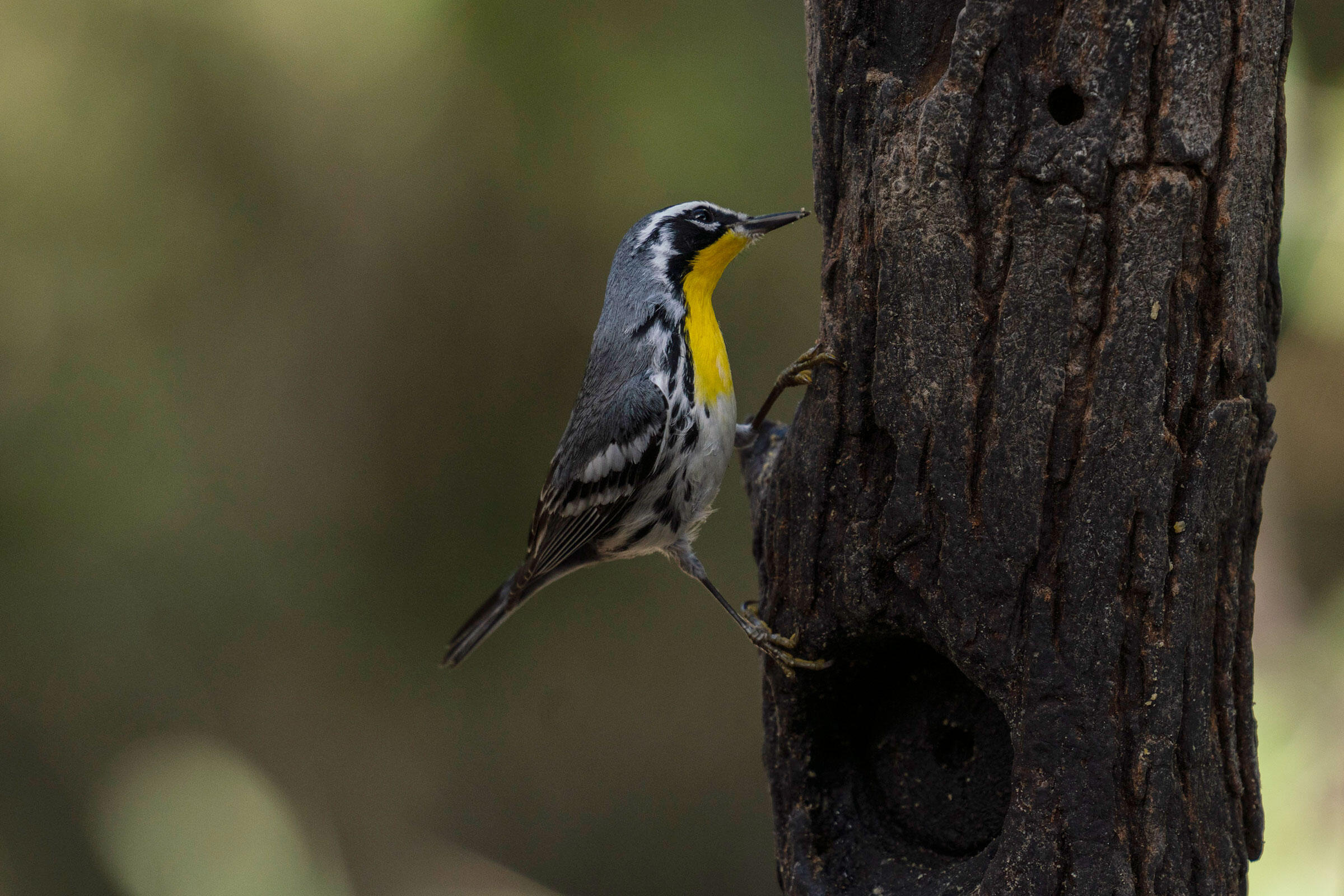 The birders spot a Yellow-throated Warbler during the Christmas Bird Count at Bentsen-Rio Grande Valley State Park. This is a rare bird found only during winter and fall at the park. Verónica G. Cárdenas