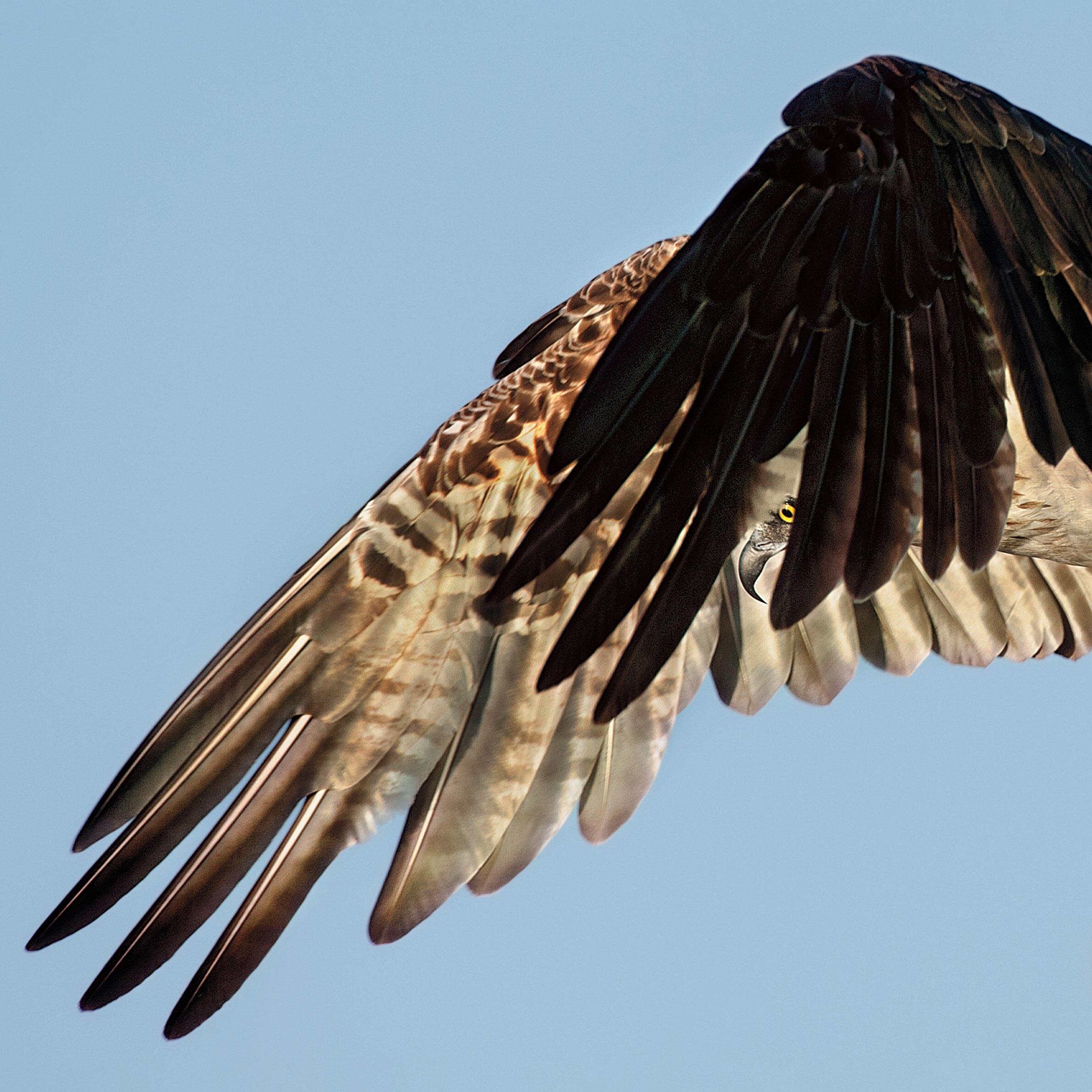 Osprey. Dick Dickinson/Audubon Photography Awards