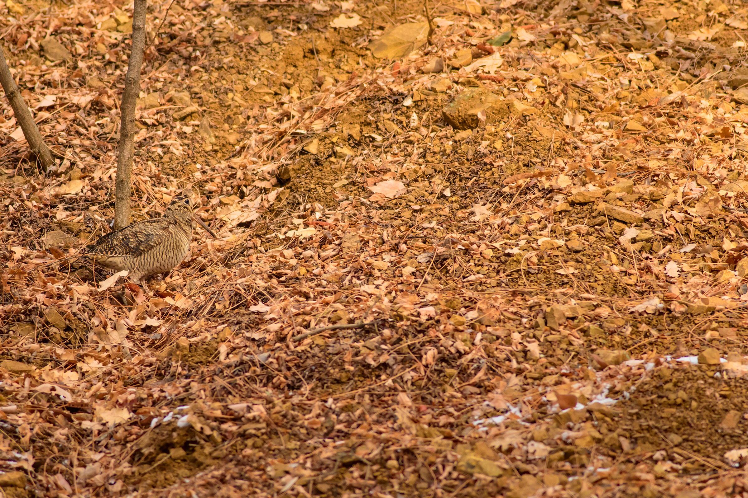 Eurasian Woodcock. Serkan Mutan/Shutterstock