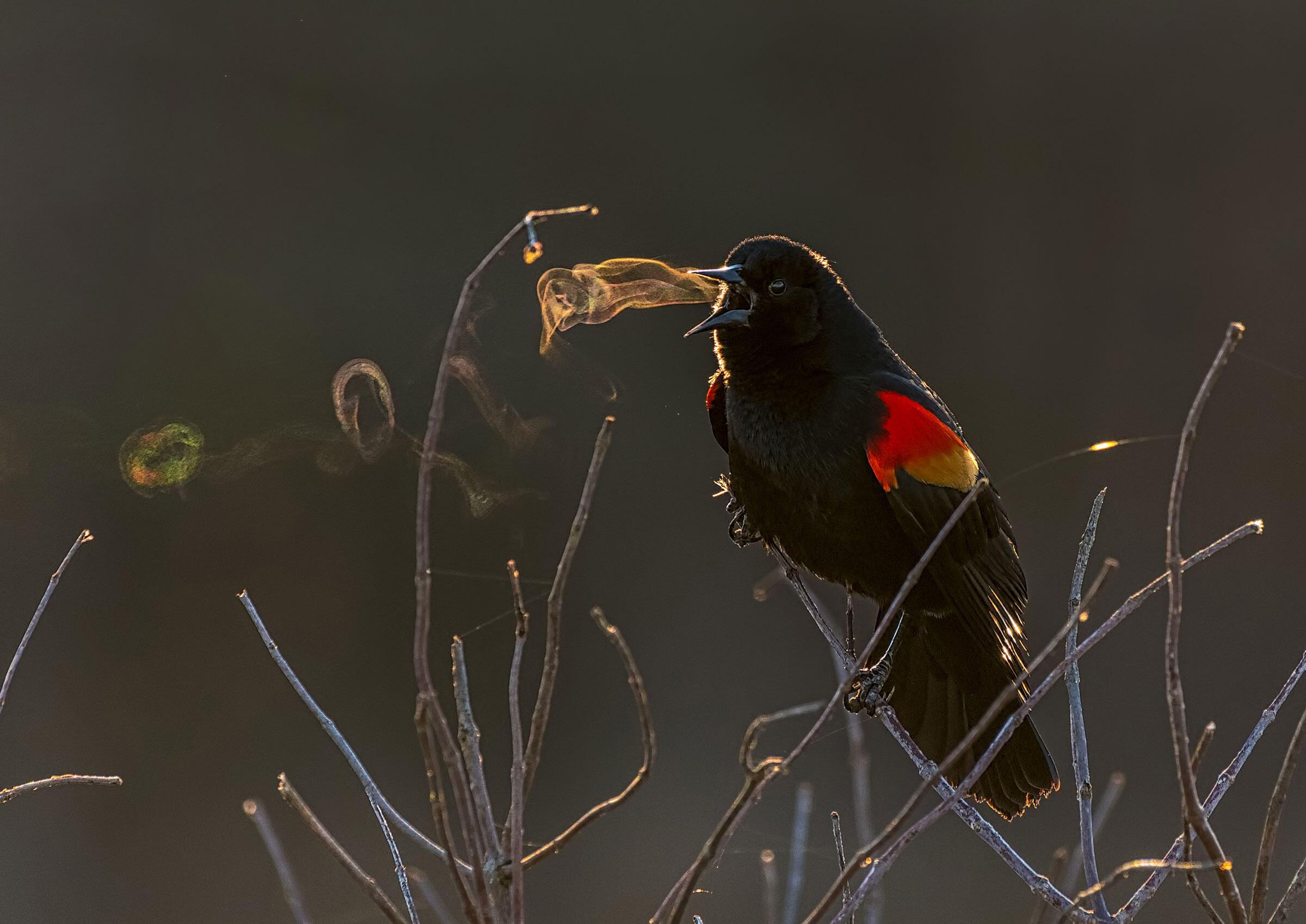 Red-winged Blackbird. Kathrin Swoboda/Audubon Photography Awards