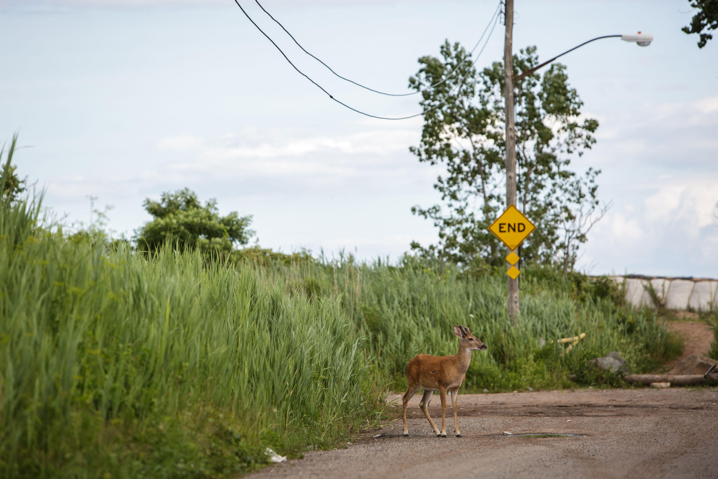 A White-tailed Deer emerges from the overgrown marshland that was a yard four years ago. Kissam Avenue, Oakwood Beach, Staten Island. July 10, 2016. Hillary Eggers