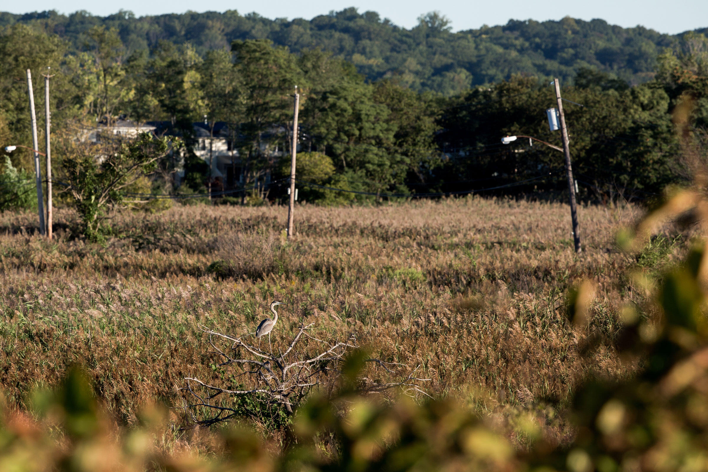 A Great Blue Heron overlooks the marshland surrounding Kissam Avenue. The telephone poles now trace empty lots overgrown by nature. September 15, 2016. Hillary Eggers
