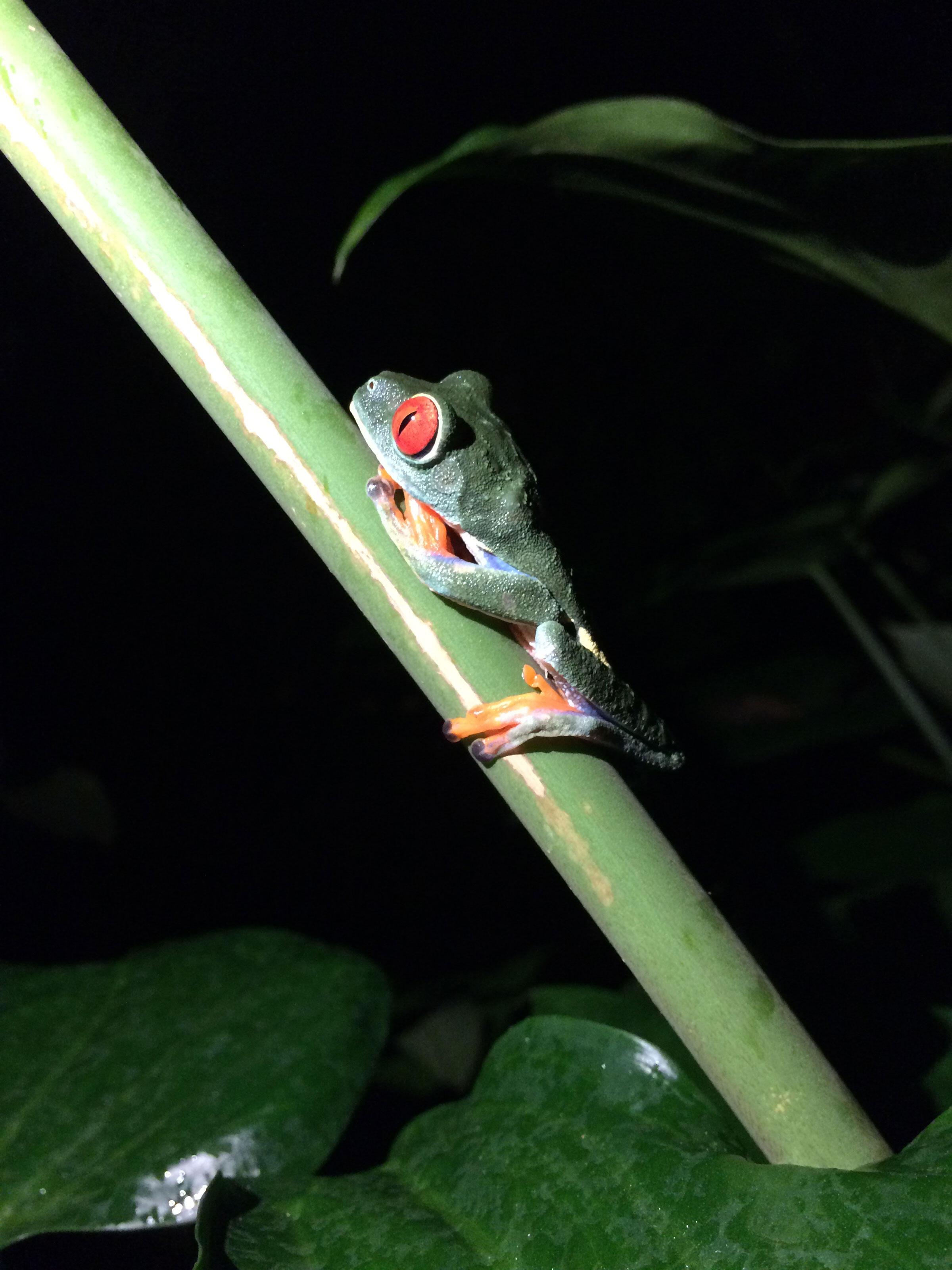 Red-eyed tree frog. Hog Island Audubon Camp