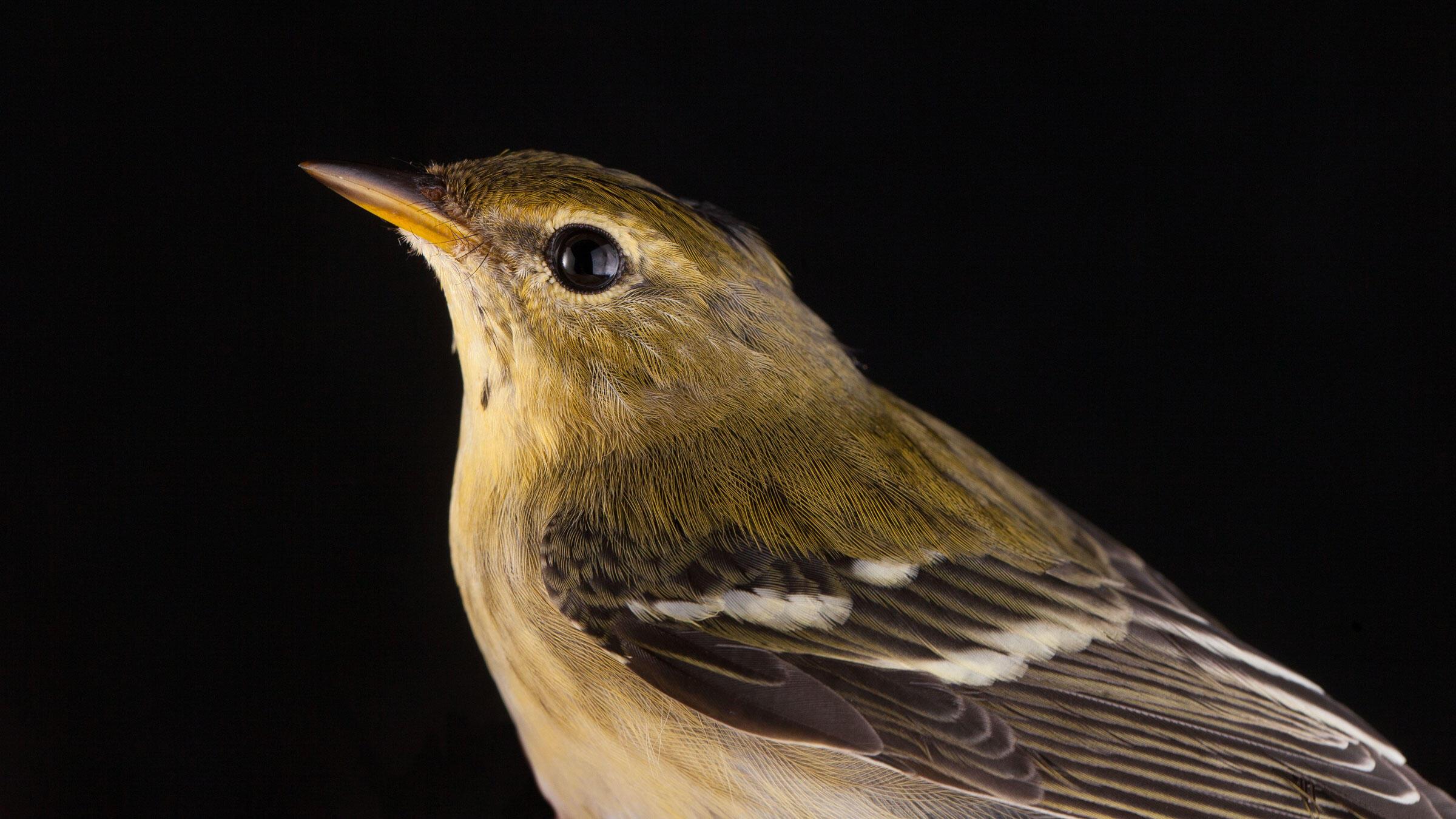 Blackpoll Warbler. Sean Graesser