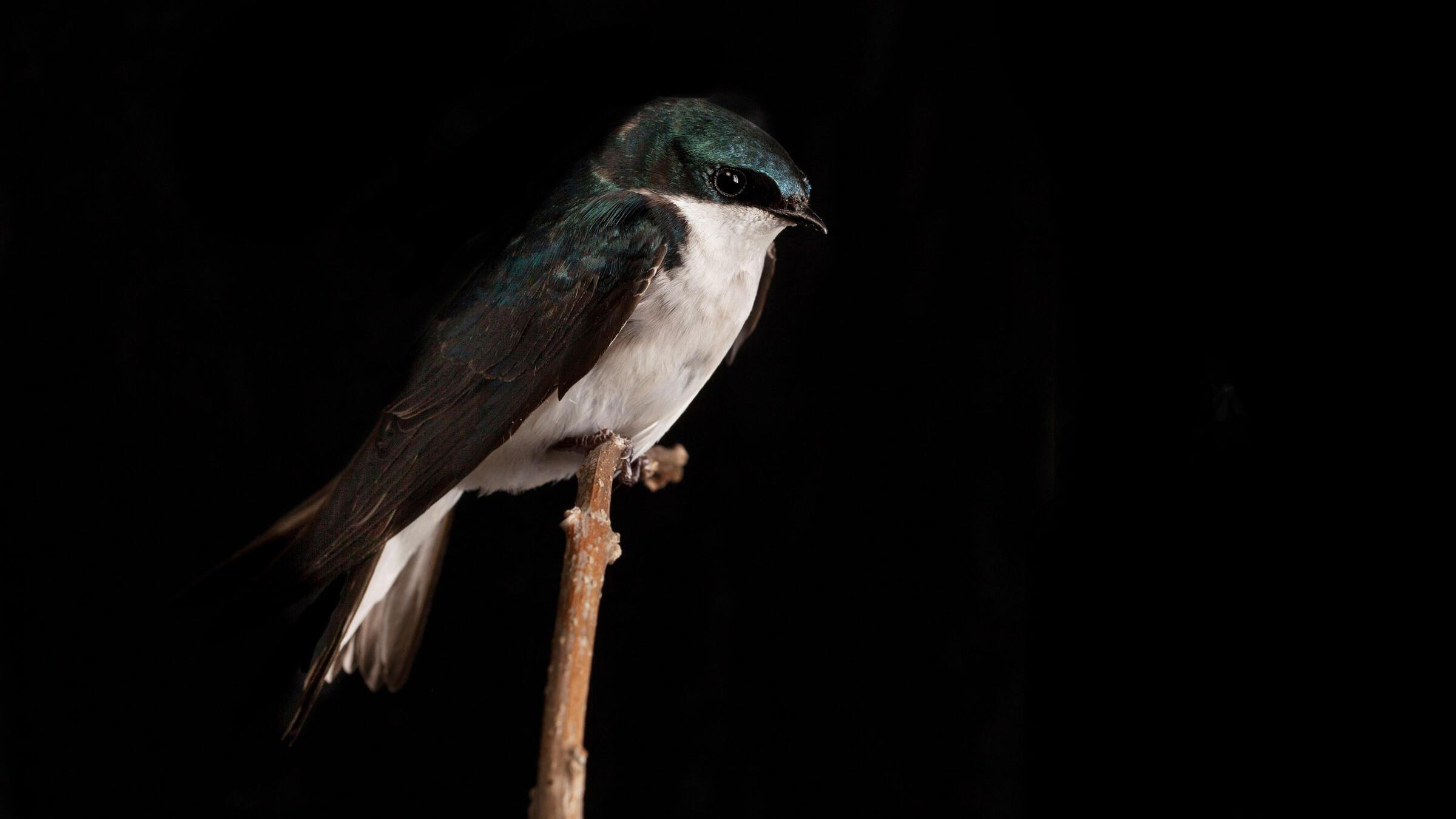 Tree Swallow. Sean Graesser