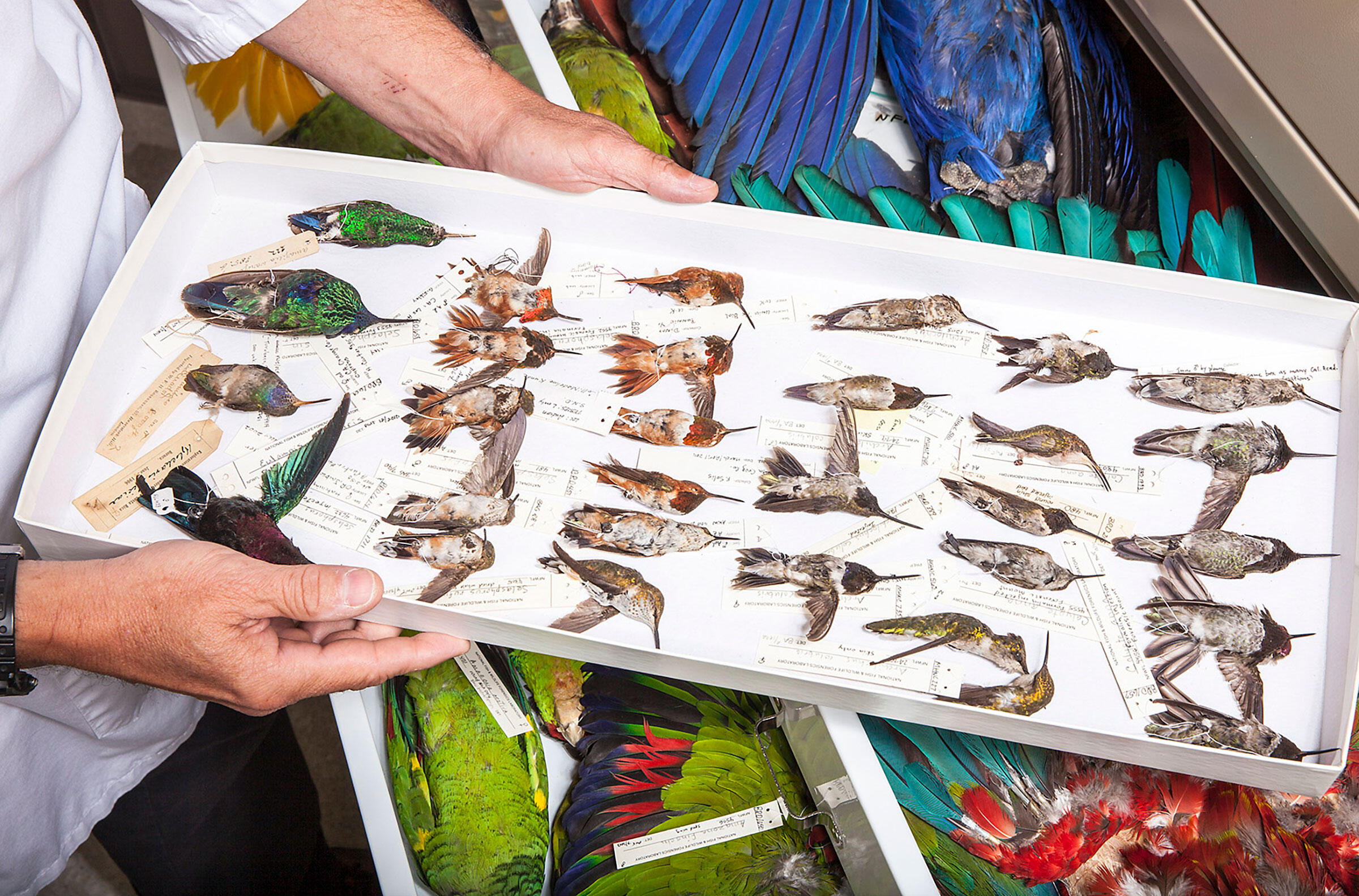 Trail compares each chuparosa with reference specimens, most of which have been donated by rehabilitation centers or refuges, or were once evidence in investigations. Tom Fowlks