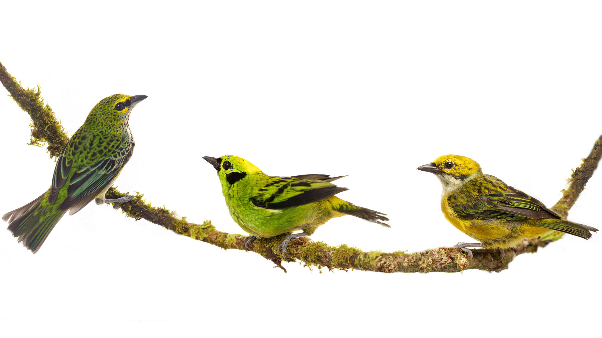 Speckled Tanager, Emerald Tanager, and Silver-throated Tanager. Sean Graesser