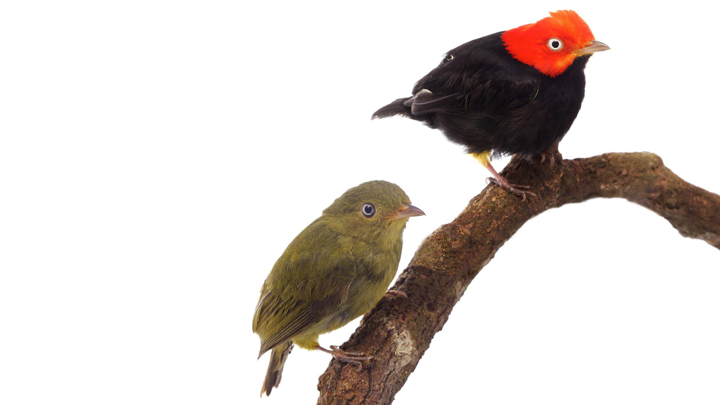 Red-capped Manakins, female (L) and male (R). Sean Graesser