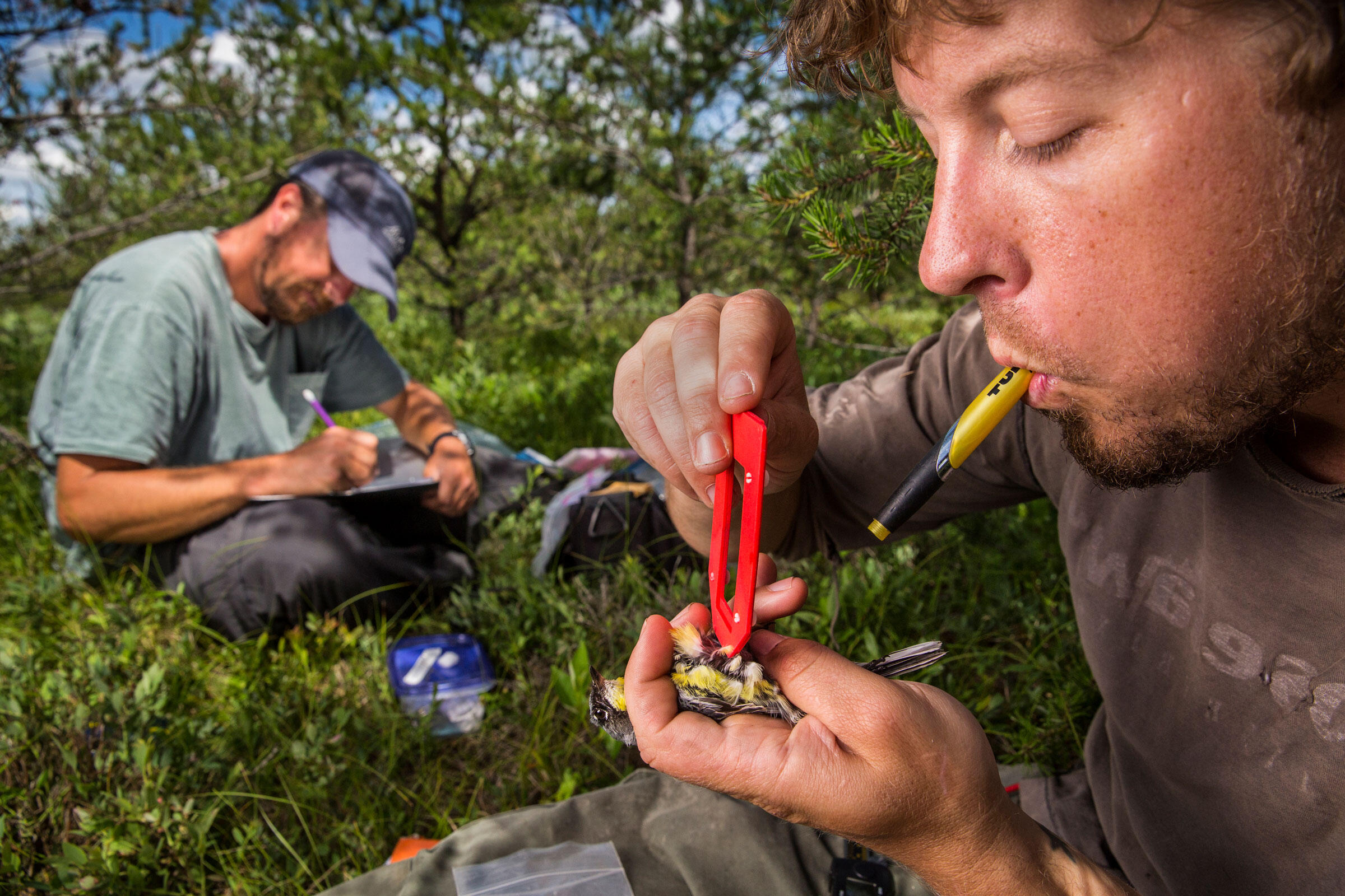 Cooper measures a Kirtland's Warbler captured in Michigan before refitting it with a fresh nanotag. Karine Aigner