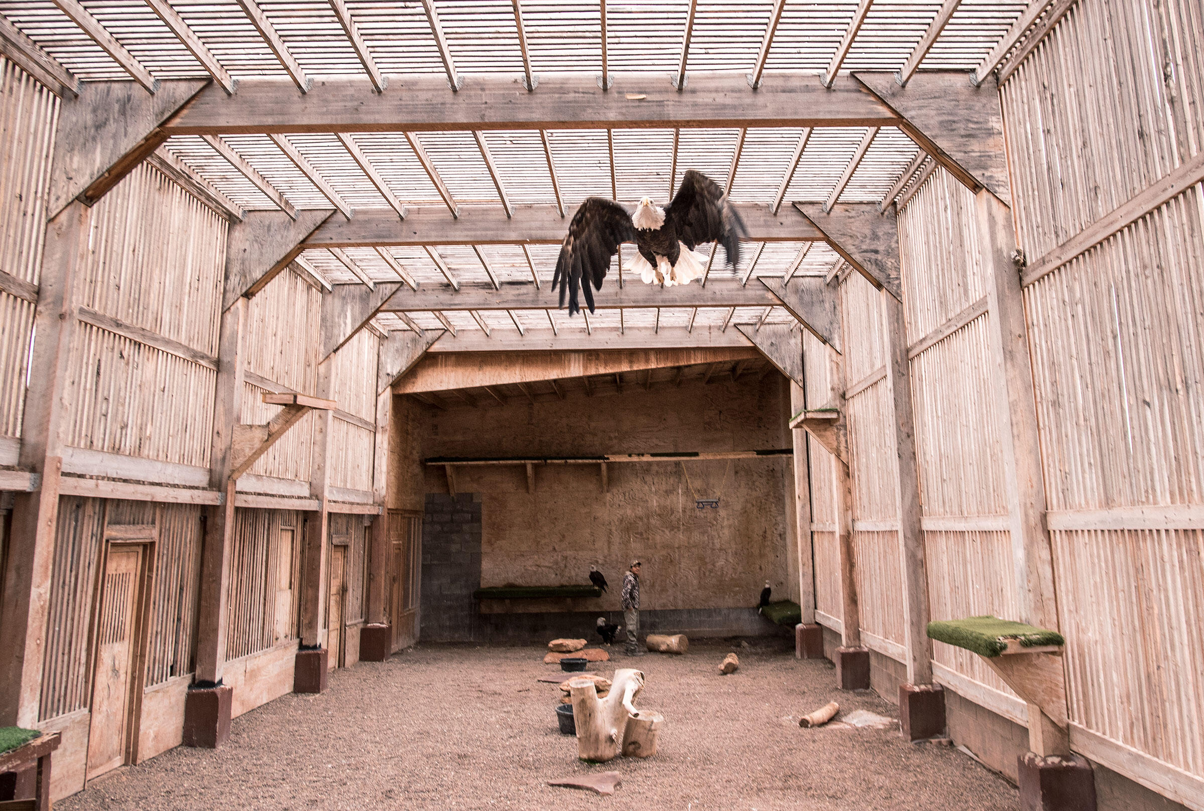 Ten Bald (and eight Golden) Eagles reside in the Zuni Pueblo aviary. Each is given a name and welcomed in a ceremony as a member of the tribe. Dawn Kish
