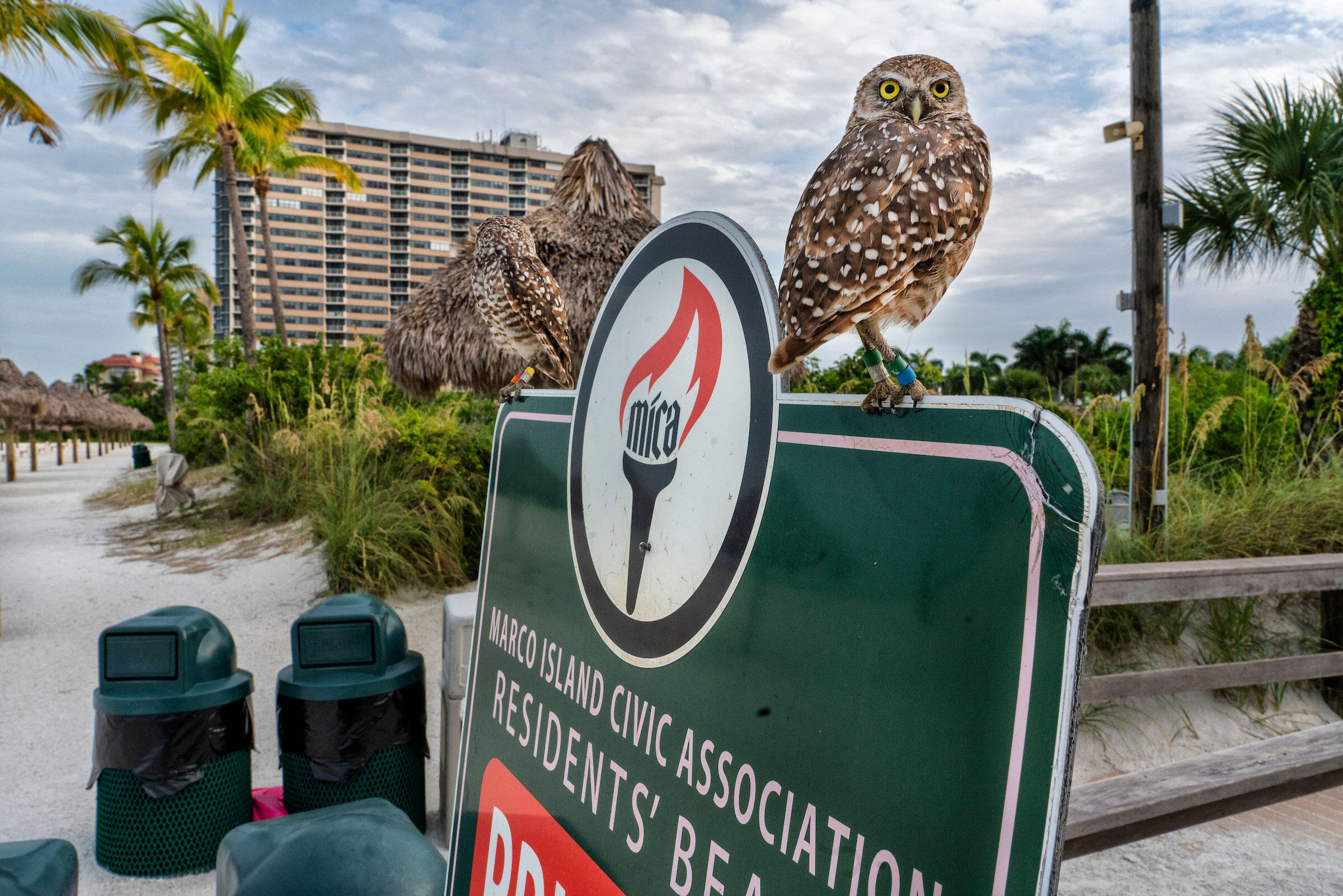 This pair of owls live under the boardwalk entrance at Residence Beach on Marco Island. Karine Aigner