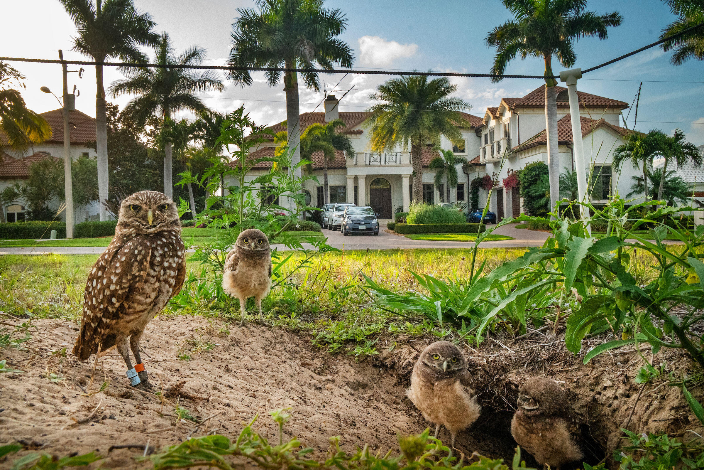 Since her mate disappeared, this female has raised her chicks alone in a burrow on an empty lot in a residential neighborhood. Karine Aigner