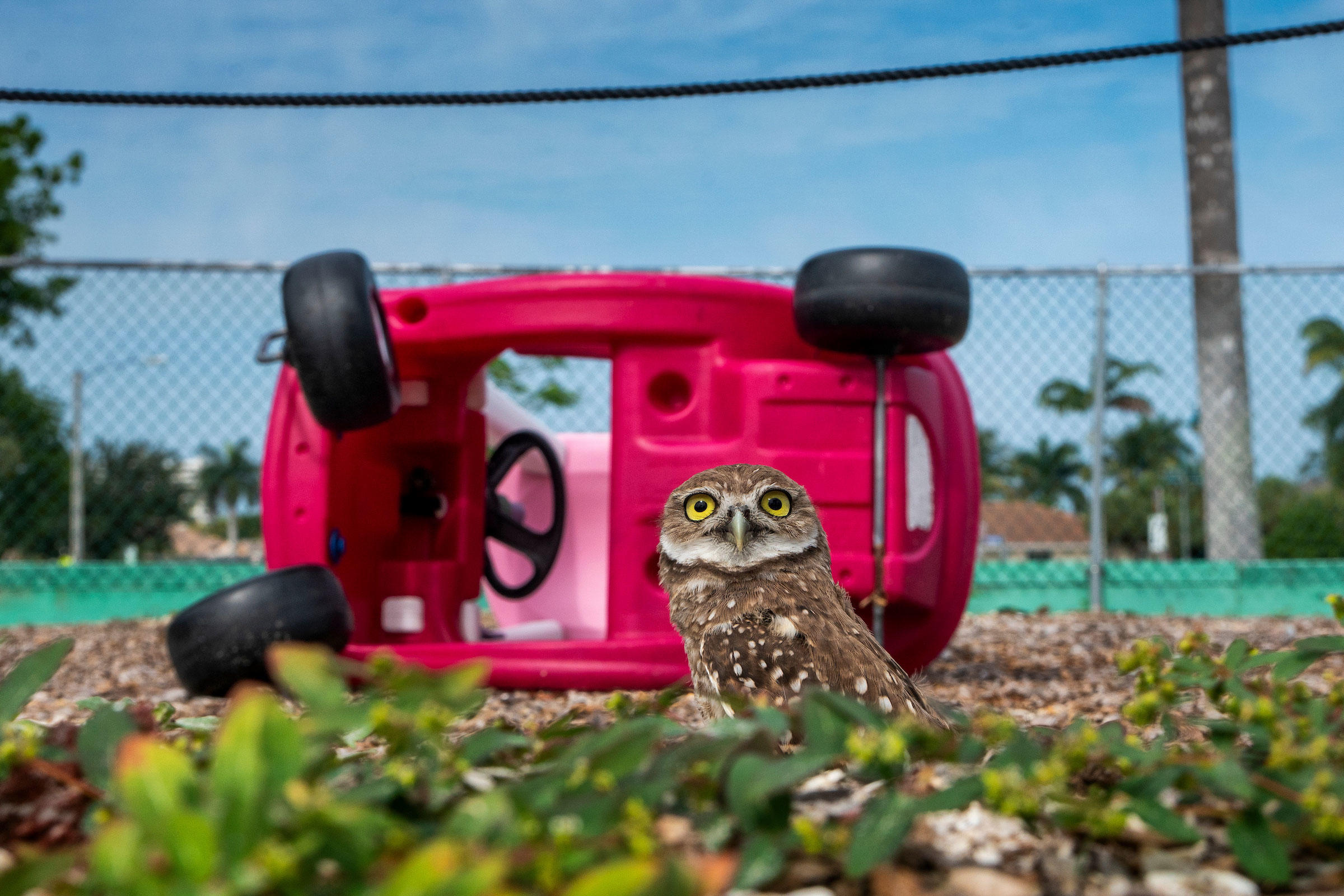 These owls nested in a church playground, which means it's off-limits to humans, lest they disturb the birds. Karine Aigner