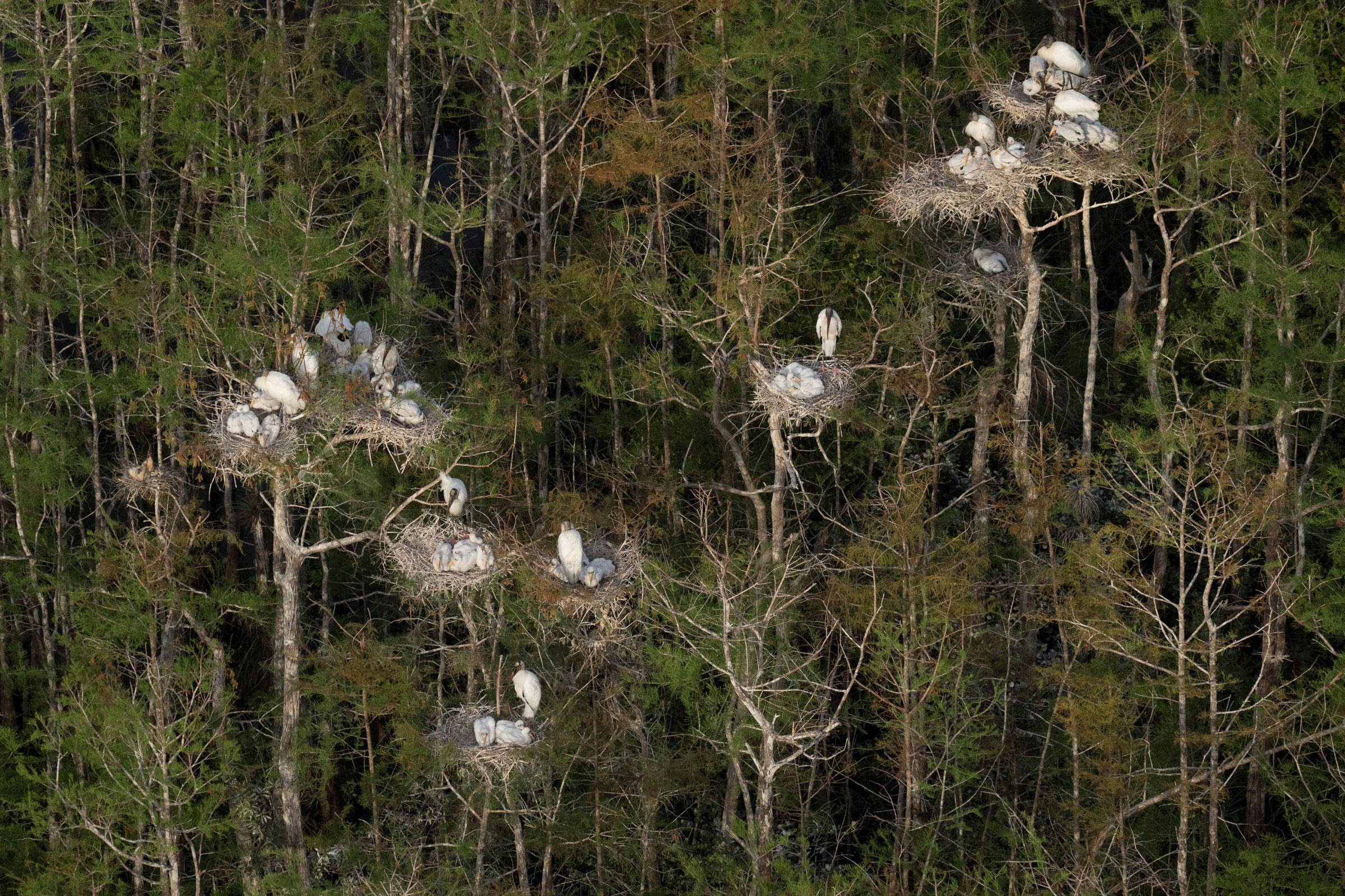 Colonies of Wood Storks thrive in the cypress domes and sloughs next to Big Cypress National Preserve. With ample foraging grounds from adequate rainfall left in the wake of Hurricane Irma, adults are able to raise multiple young this year. Mac Stone