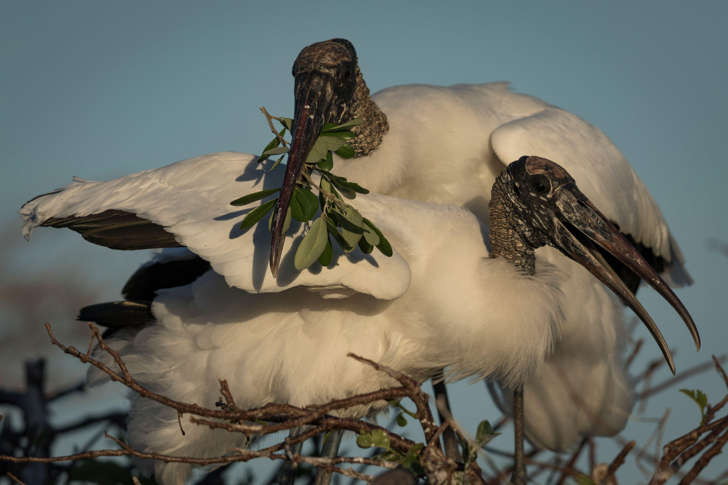 A mating pair of Wood Storks work on their nest in the Wakodahatchee Wetlands. Mac Stone