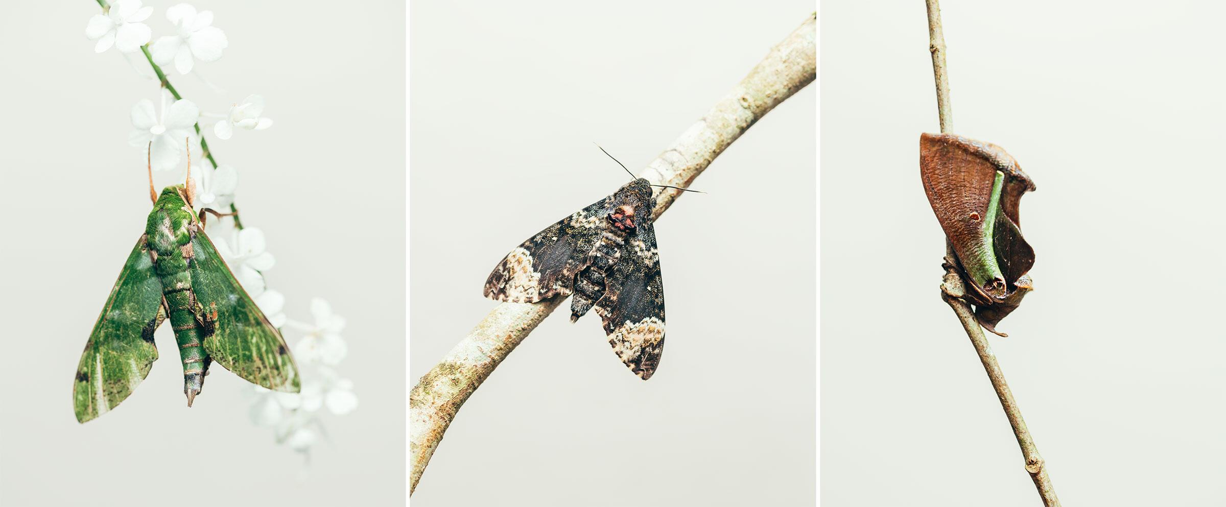 From left: Verdant hawkmoth; fulvous hawk; part of the genus of fruit piercer moths. Photos: Tristan Spinski
